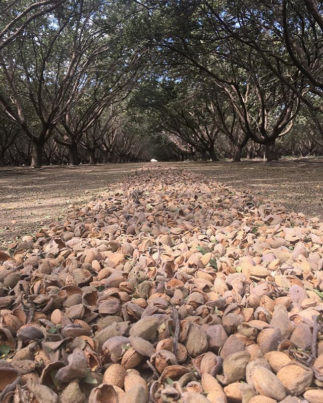 Our high-quality, raw almonds are literally straight from the farm!! Almonds are packed with vitamins, minerals, protein, and fiber, and are associated with a number of health benefits! That's why we chose them to be the main ingredient in all our mixes, try em' out for yourself. You can order directly at playhardgiveback.com 🤘🏼#playhardgiveback #givebacksnacks #chobaniincubator
