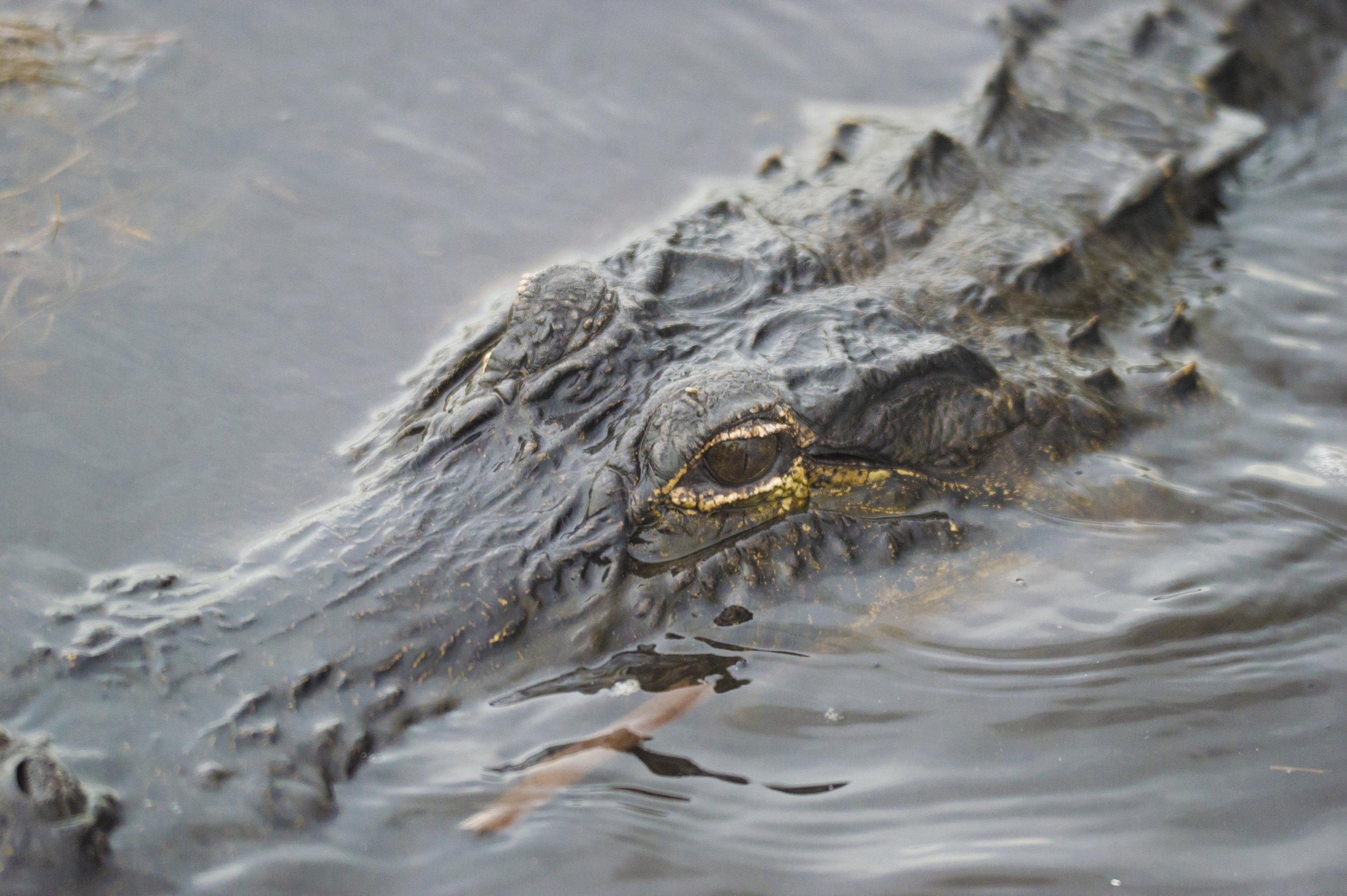 Alligator at Everglades National Park, Florida