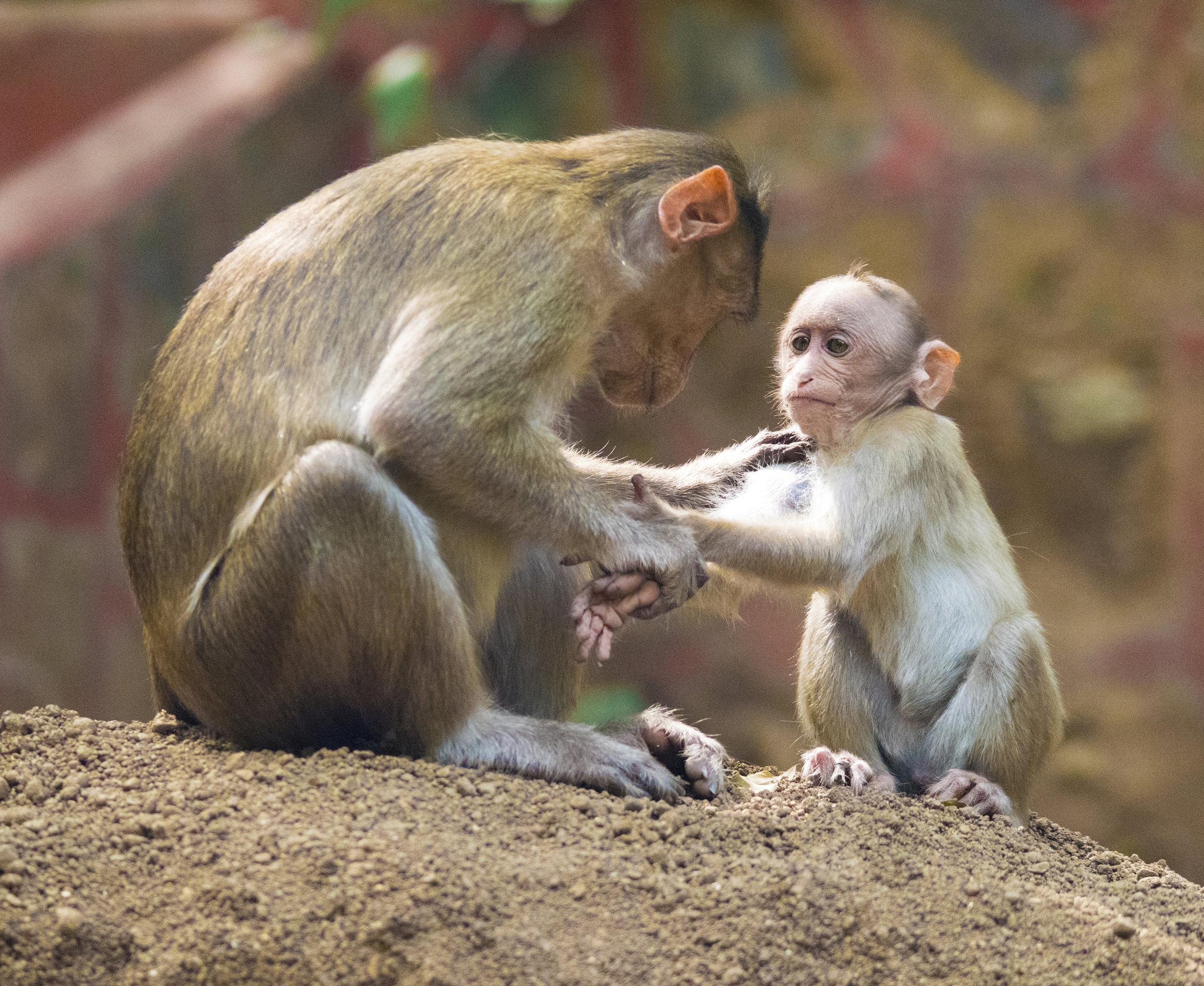 Monkeys at Karnala Bird Sanctuary, India