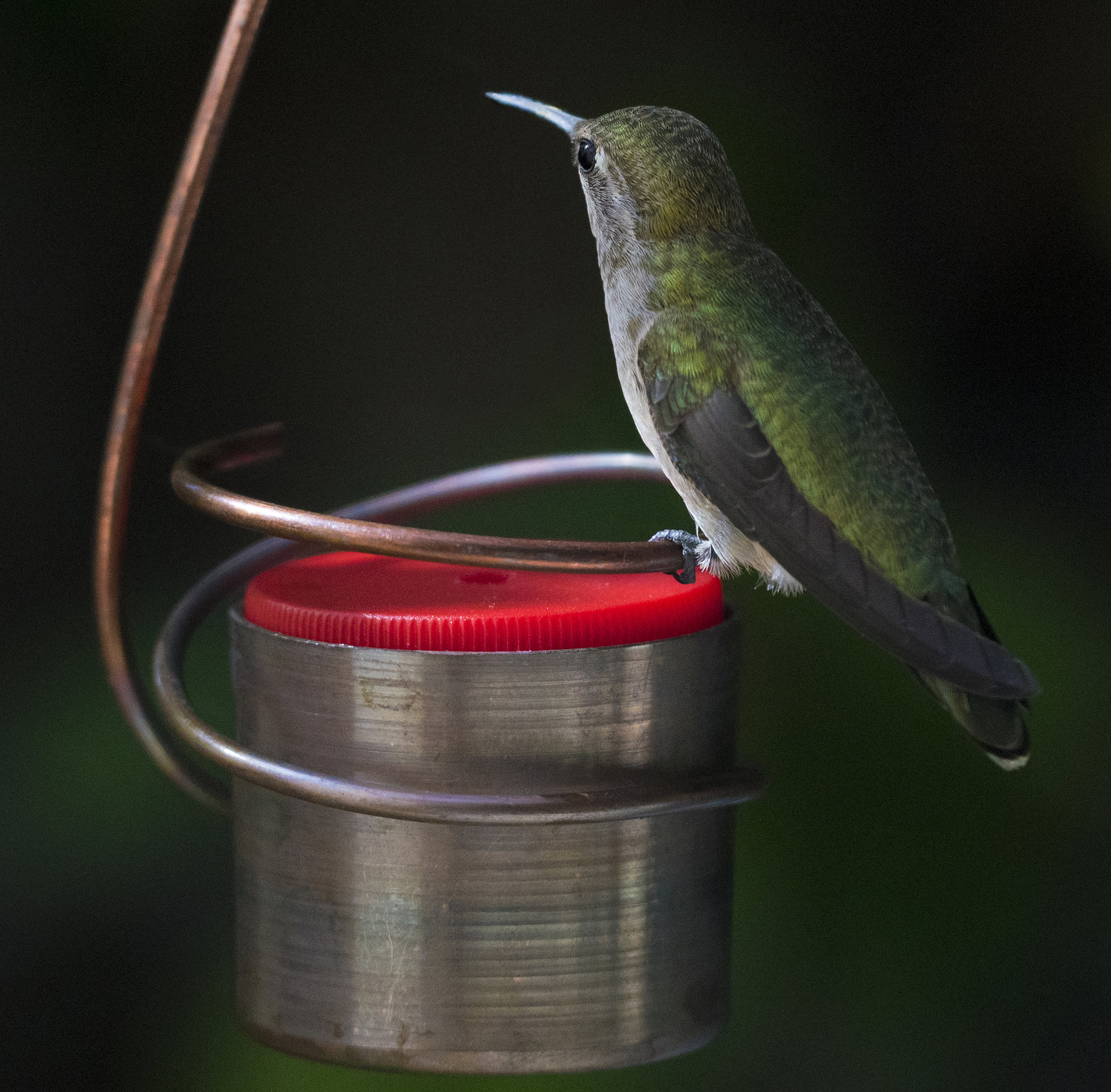 Anna's Hummingbird in San Jose, California