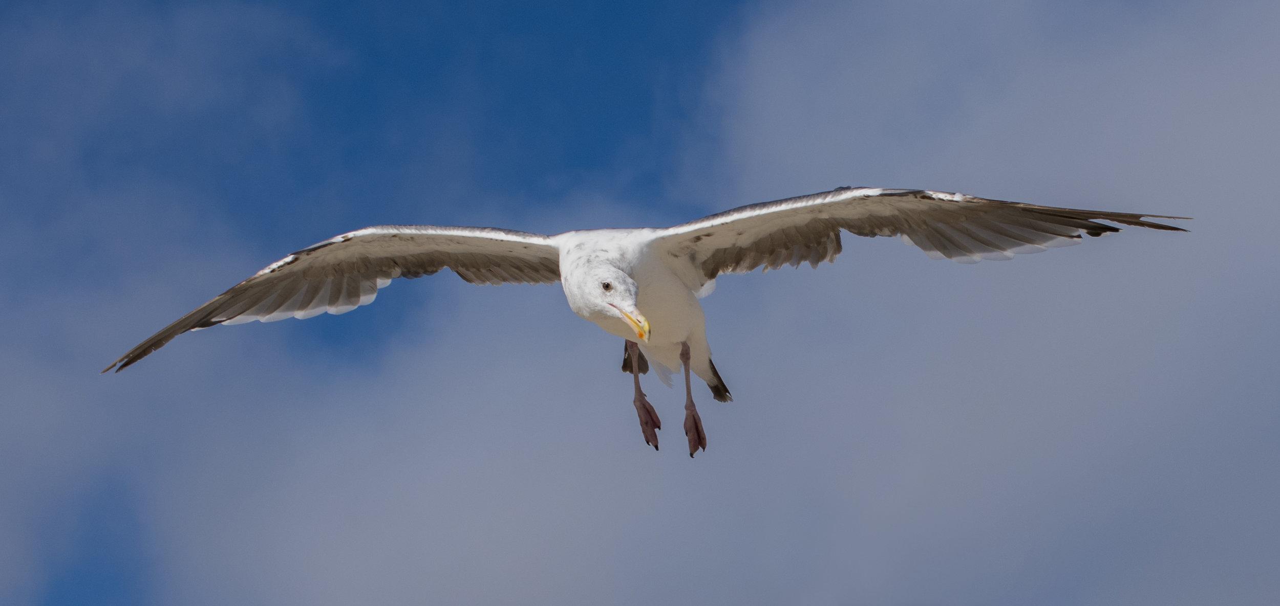 Western Gull at Venice Beach, Los Angeles, California