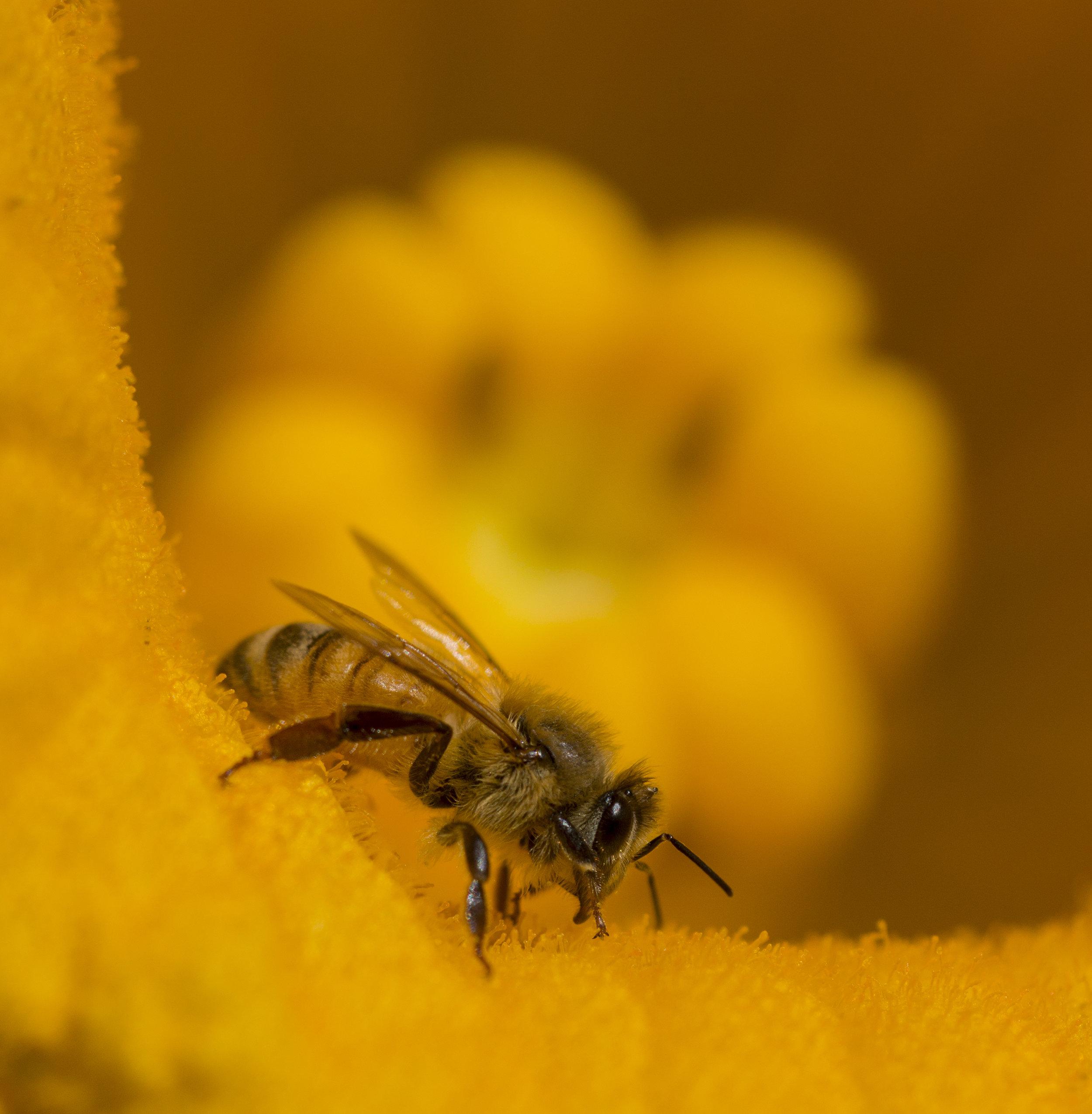 Bee in a Pumpkin Flower