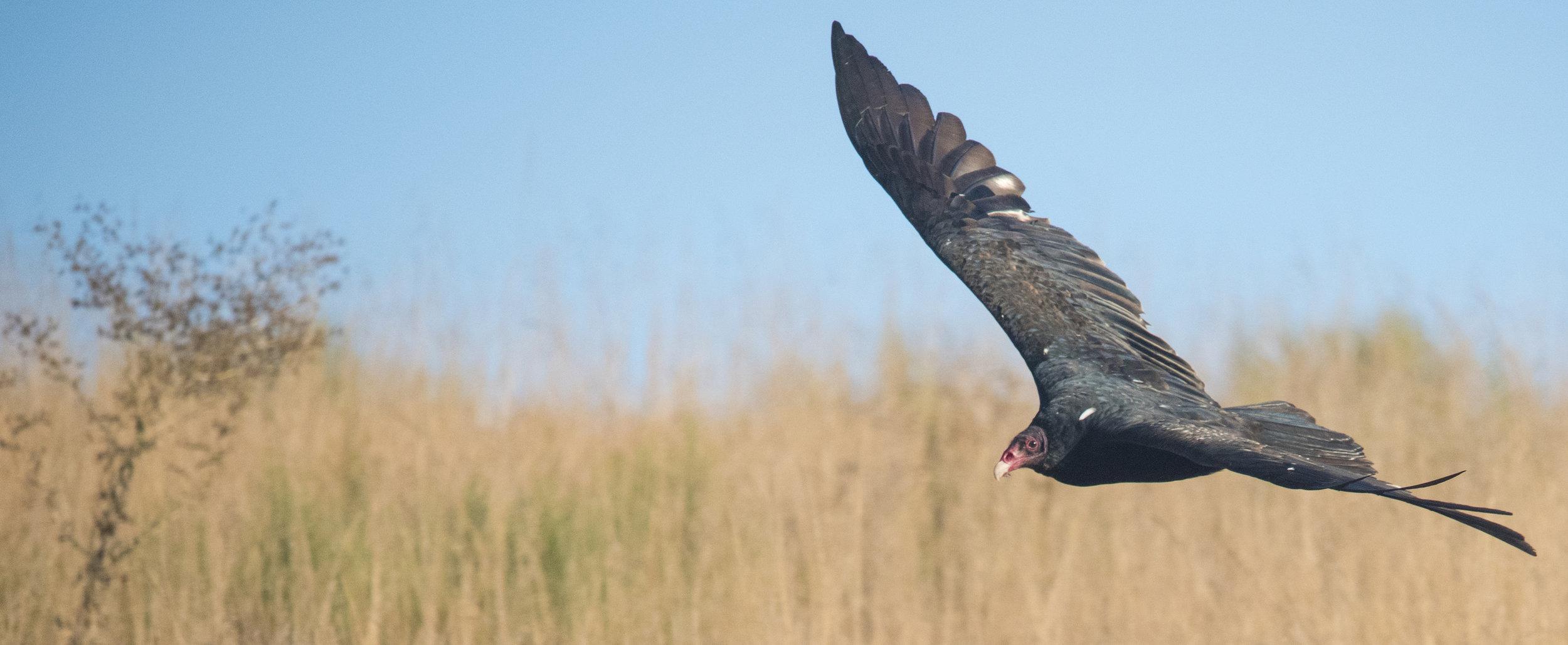 Turkey Vulture at Baylands Nature Preserve, Palo Alto, California