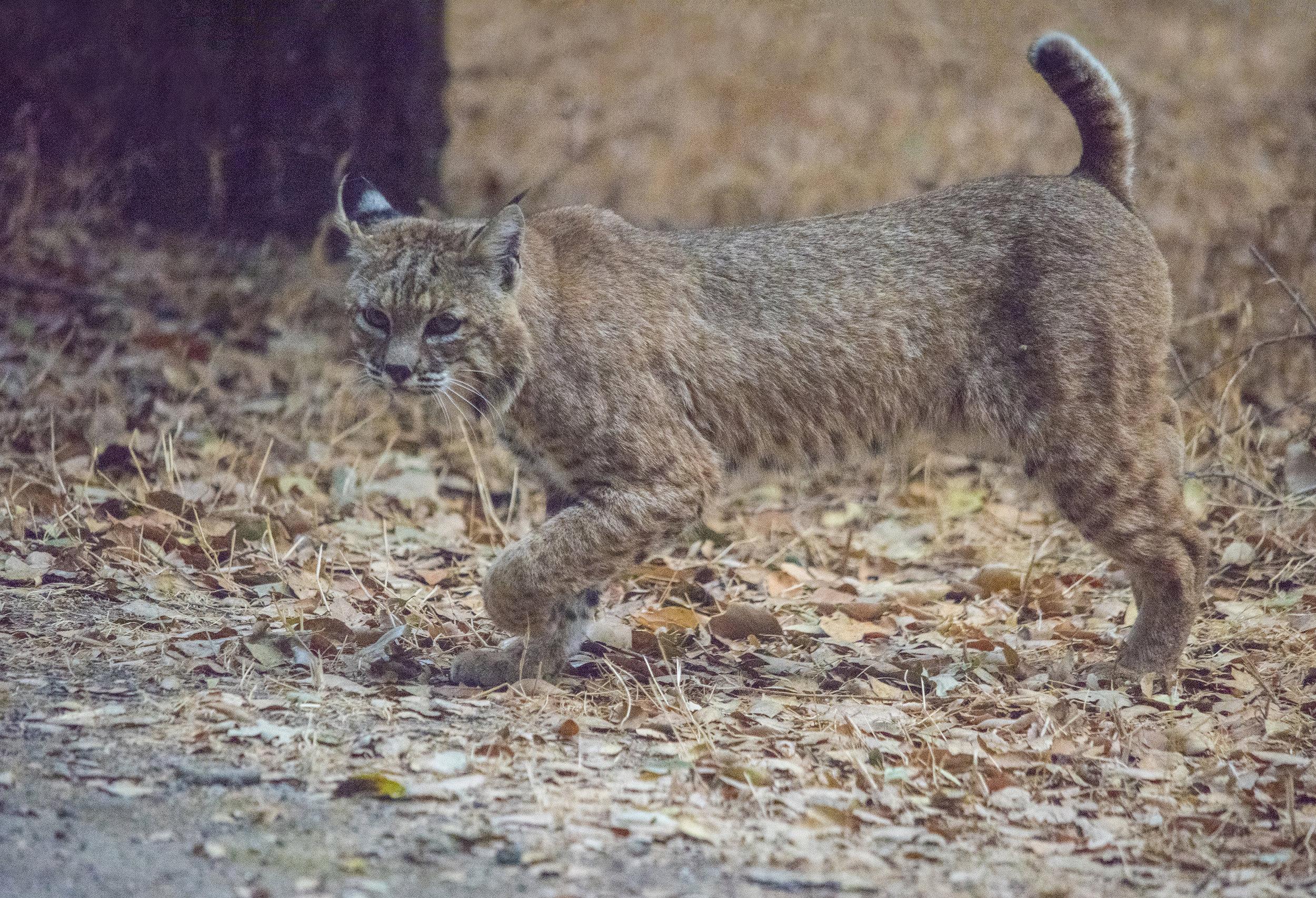 Bobcat at Coyote Creek Trail, San Jose, California