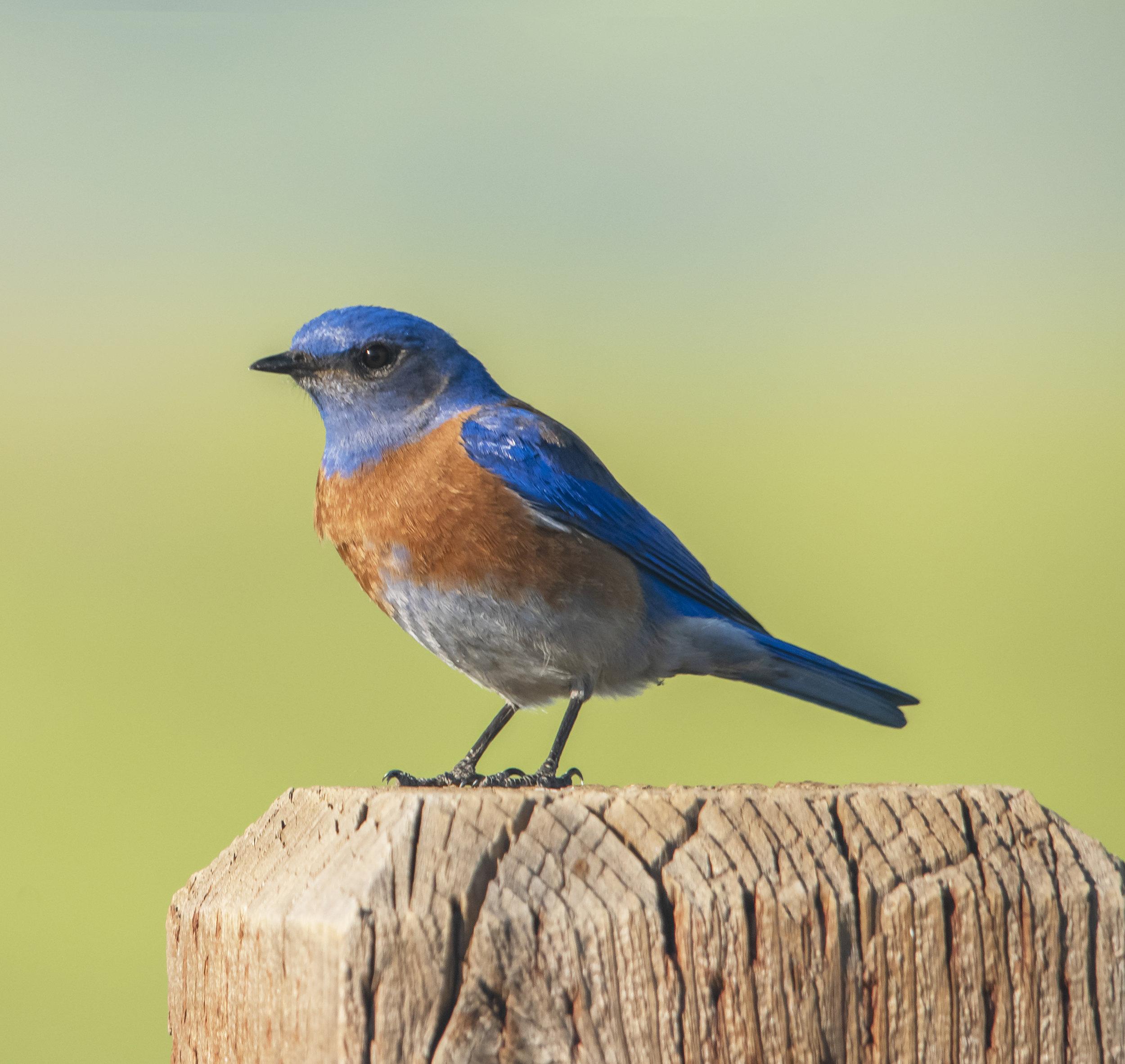 Western Bluebird at Santa Teresa County Park, San Jose, California