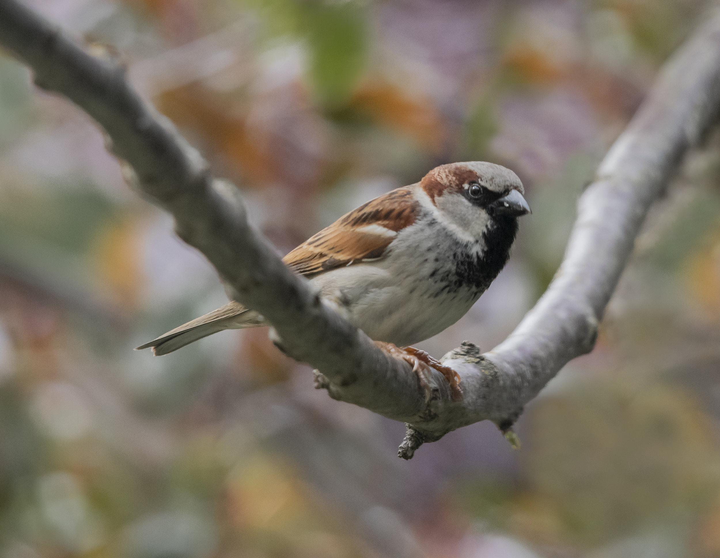 House Sparrow in San Jose, California