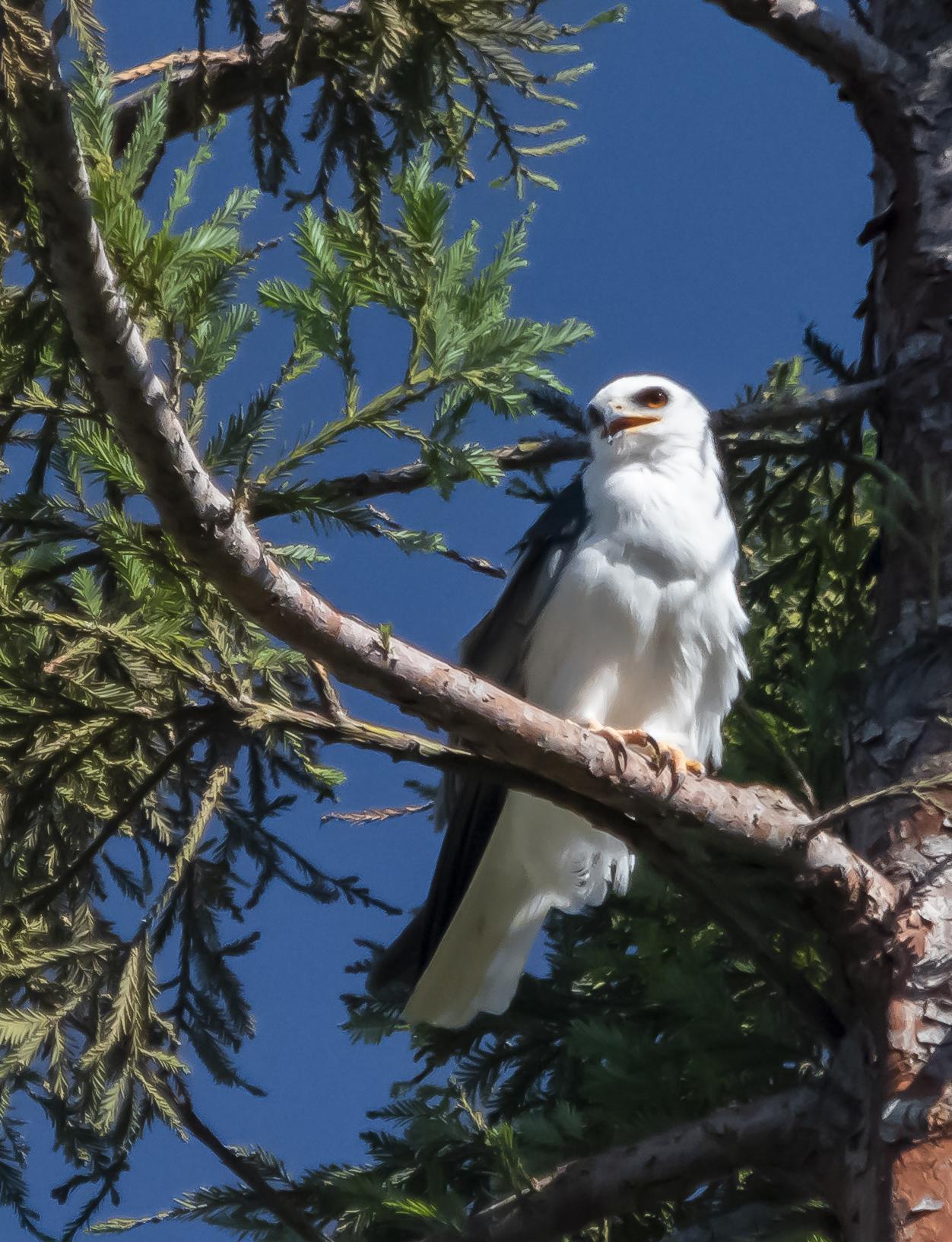 White-tailed Kite in San Jose, California