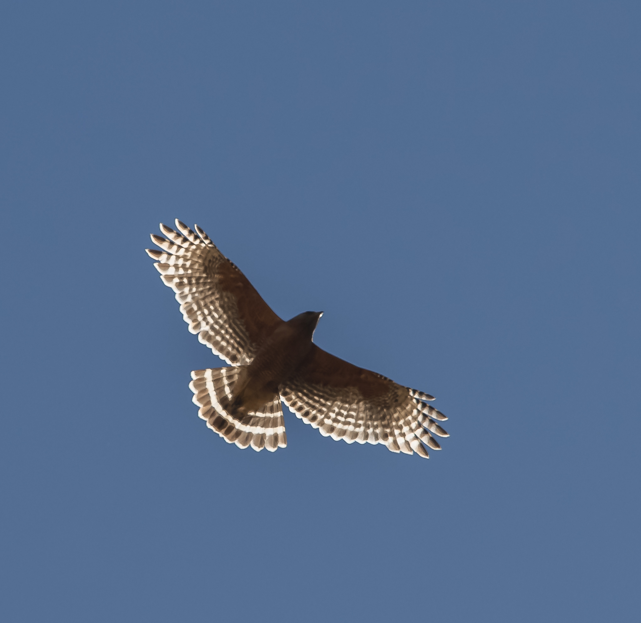 Red-shouldered Hawk at Coyote Valley Open Space Preserve, Morgan Hill, California