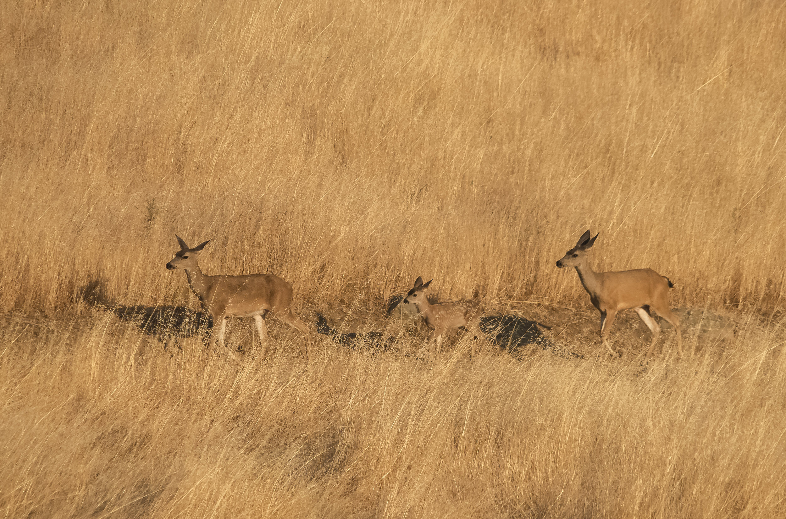Deer Family at Coyote Valley Open Space Preserve, Morgan Hill, California