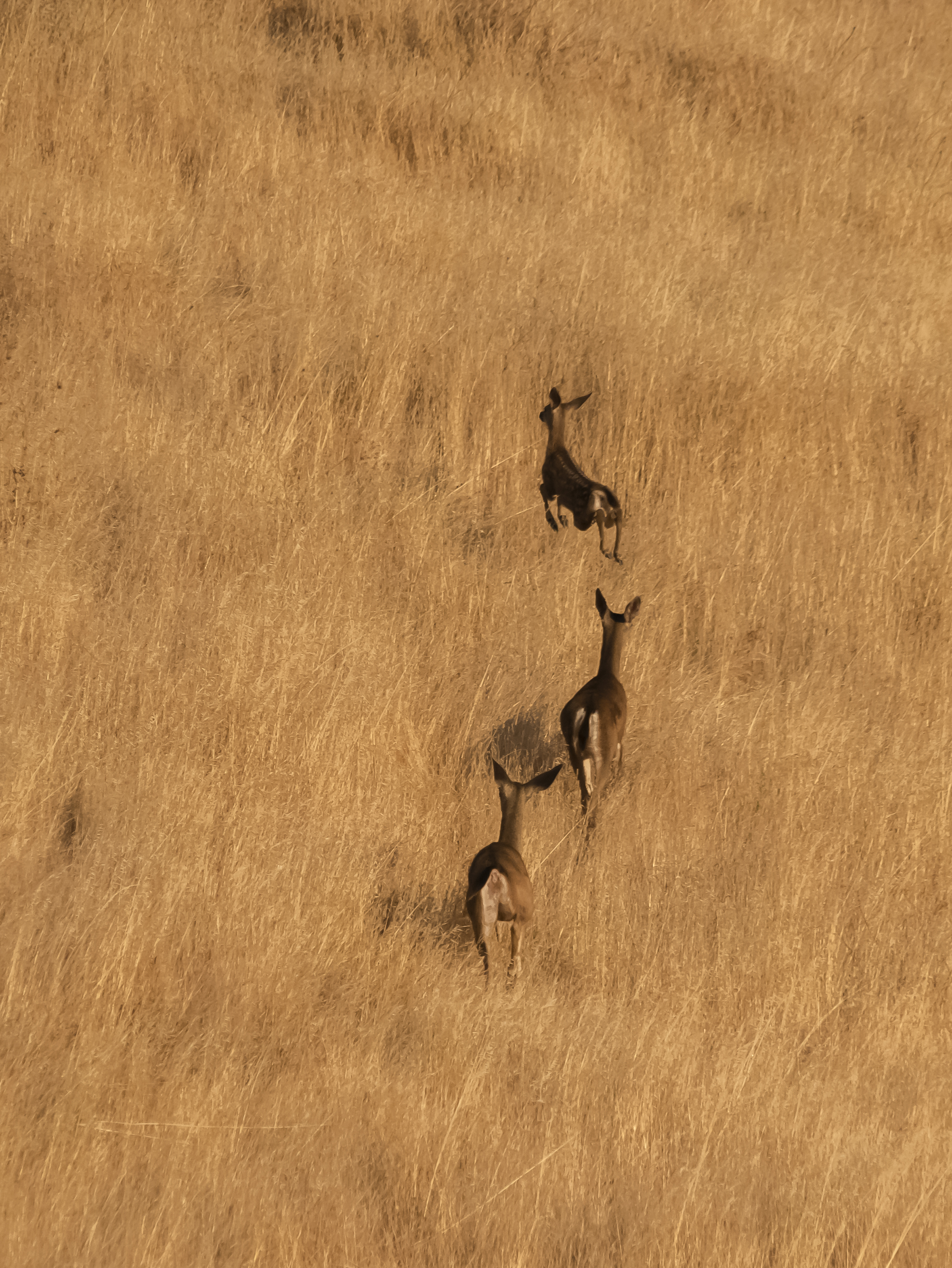 Deer Family, Coyote Valley Open Space Preserve, Morgan Hill, California