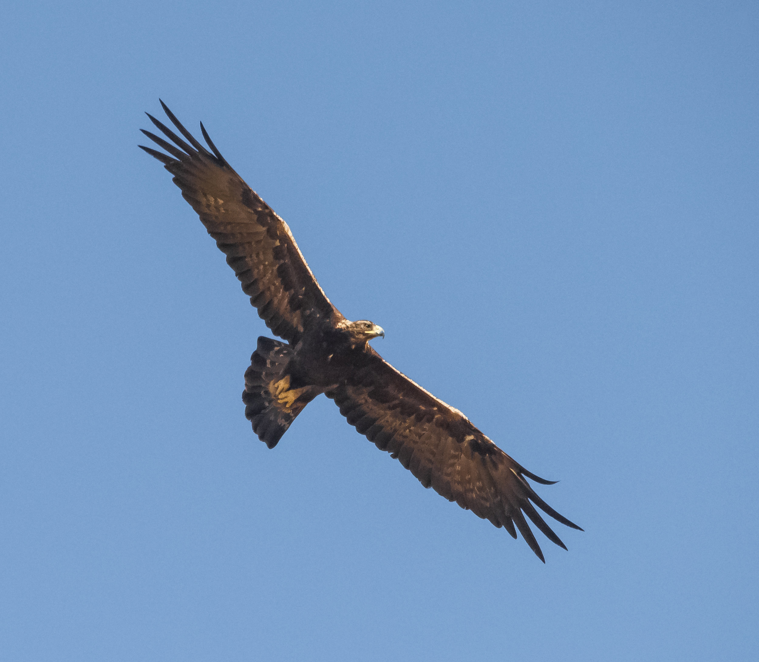 Golden Eagle at Coyote Valley Open Space Preserve, Morgan Hill, California