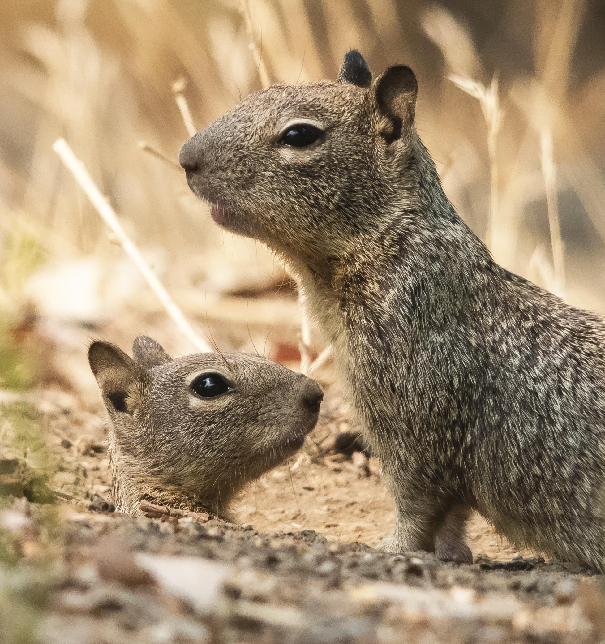 California Ground Squirrel Family, Almaden Lake Park, San Jose, California