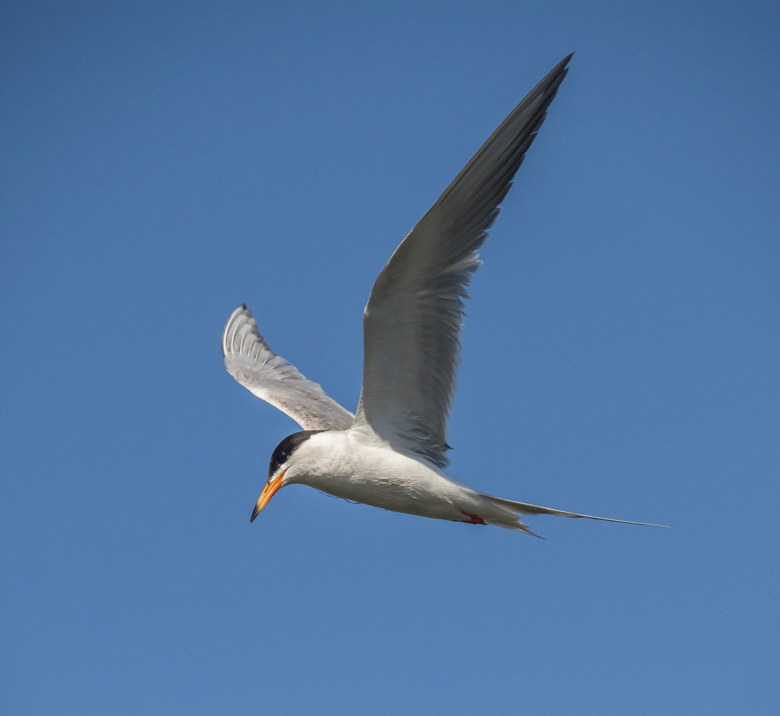 Forster's Tern at Don Edwards San Francisco Bay National Wildlife Refuge, California