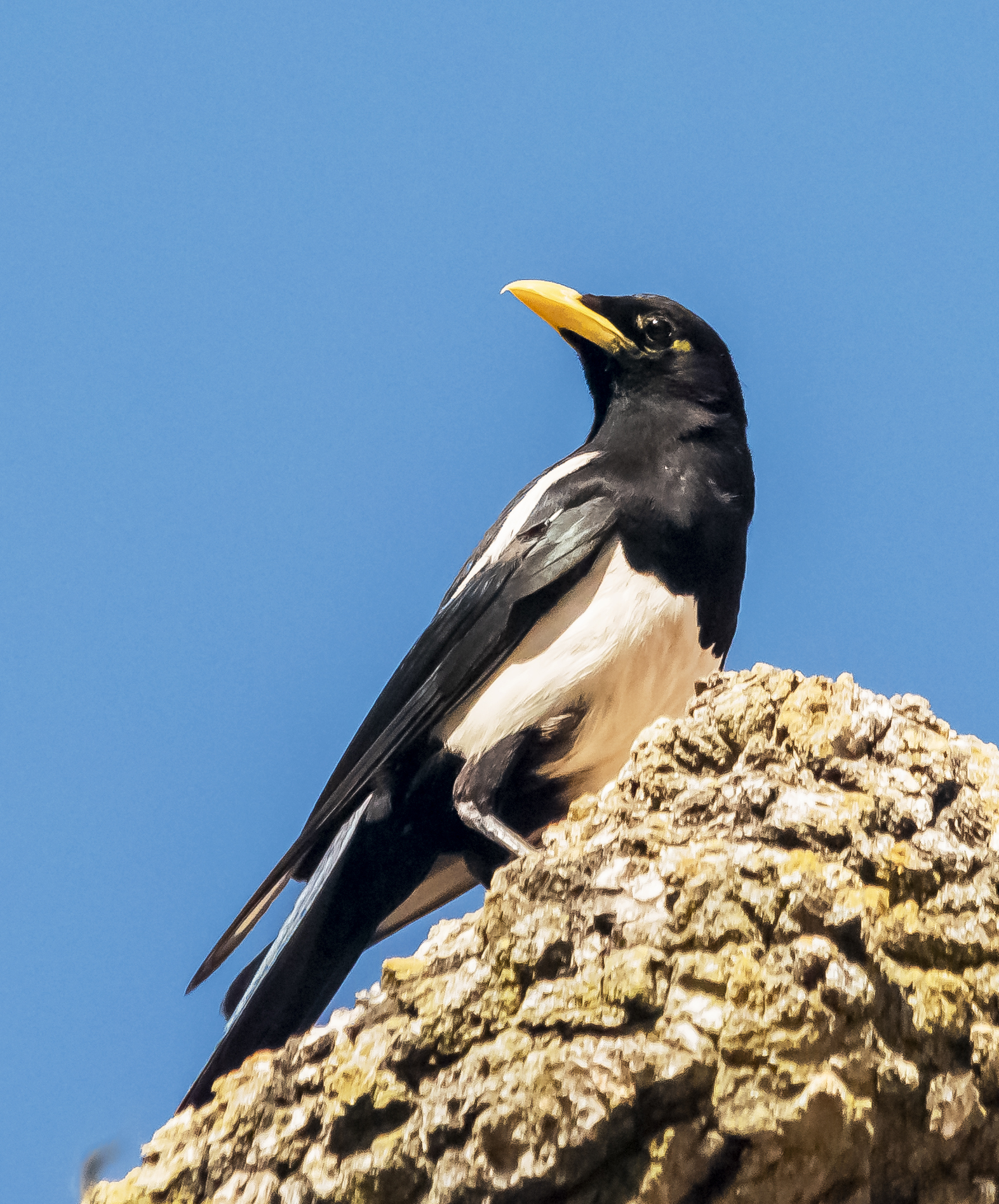 Yellow-billed Magpie in Coyote Valley Open Space Preserve, California