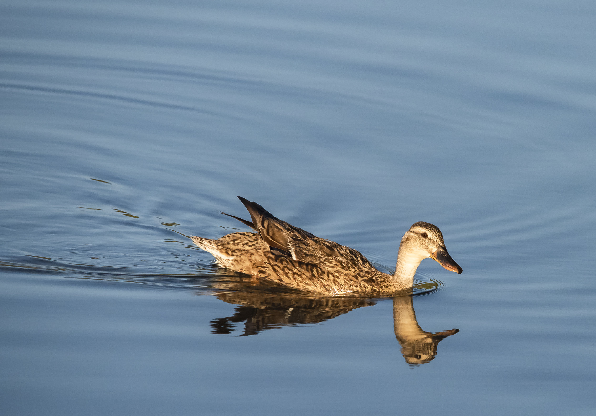 Mallard Duck (female) at Almaden Lake Park, San Jose, California