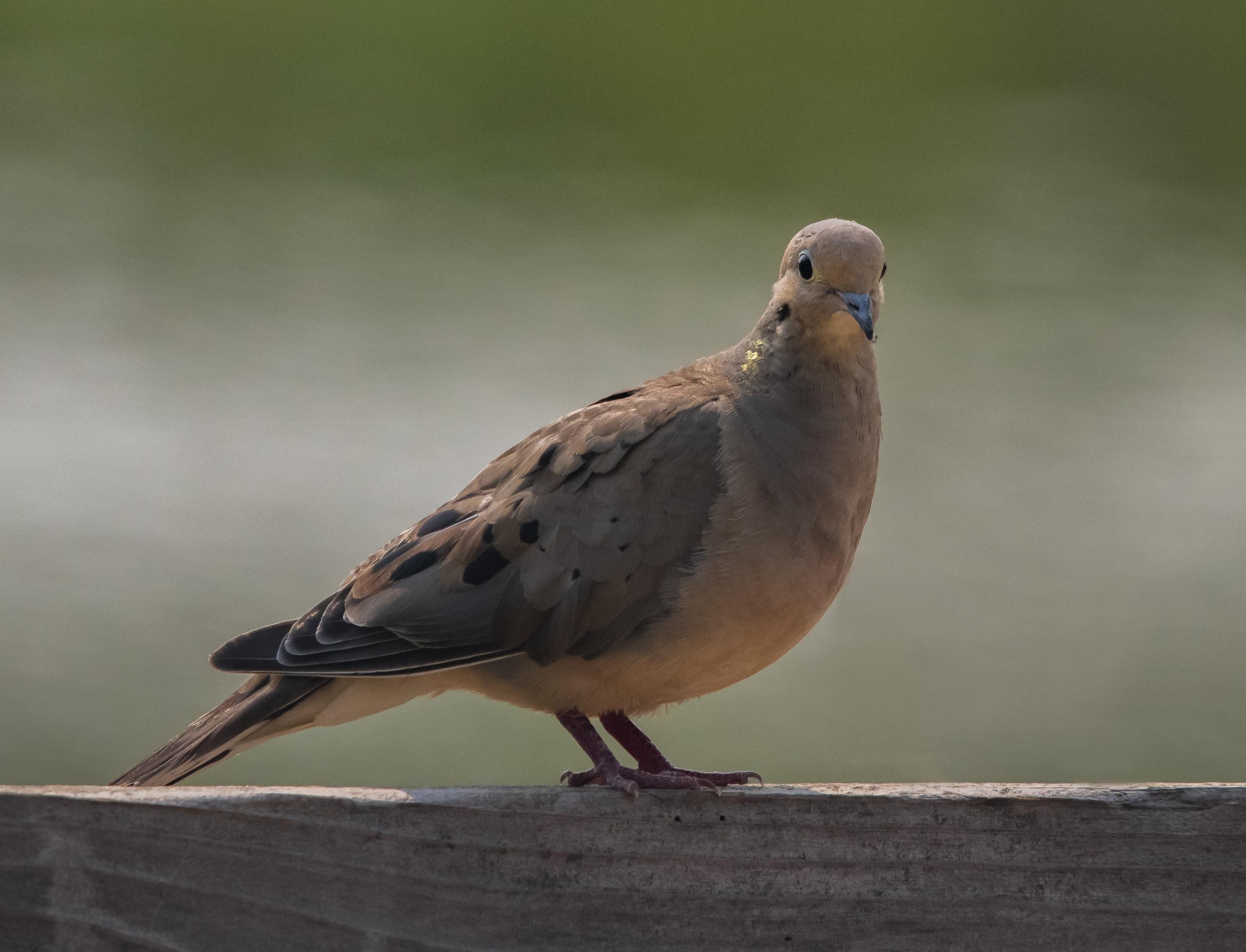 Mourning Dove at Almaden Lake Park, San Jose, California