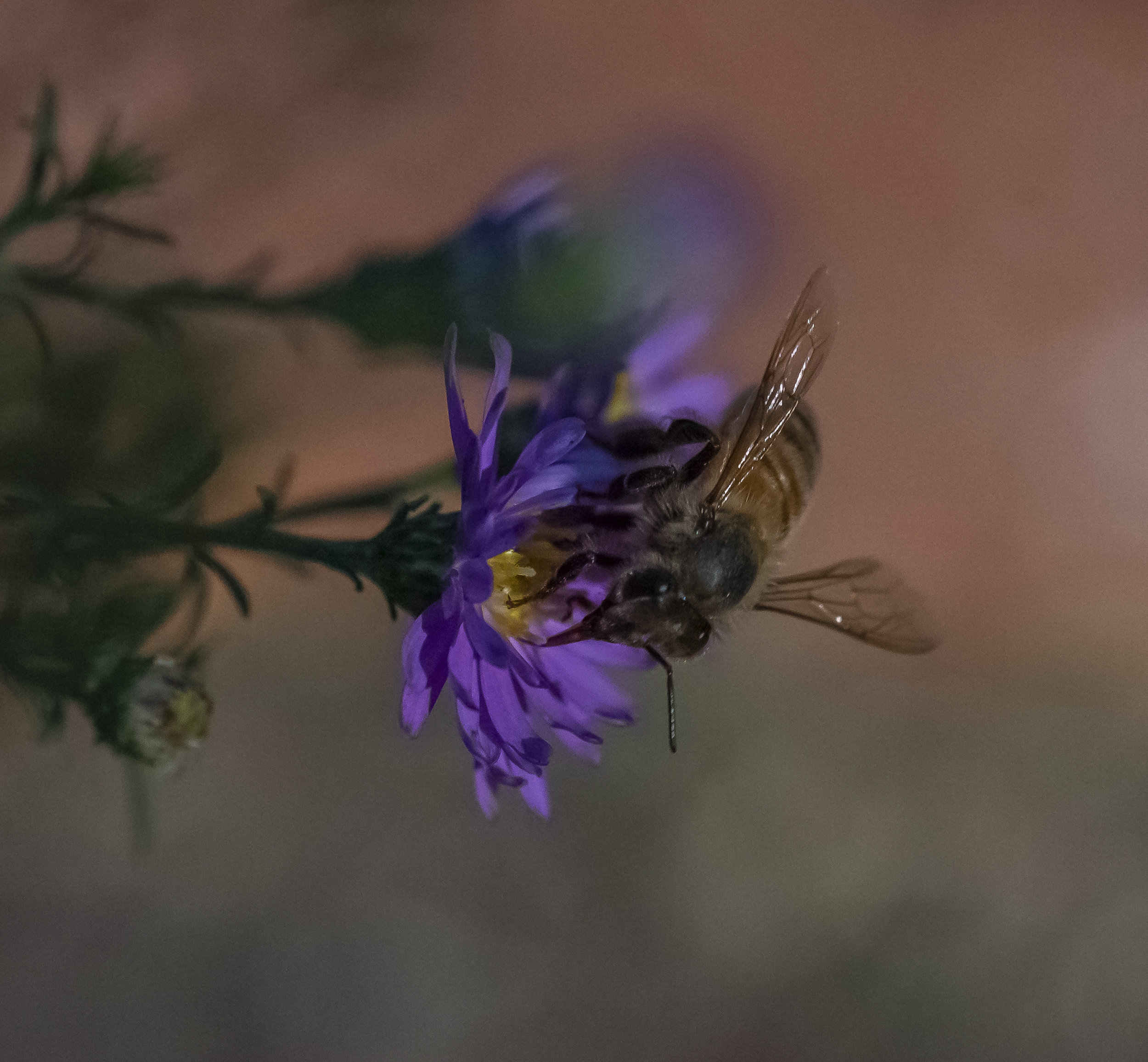 Bee in Purple Flowers in San Jose, California