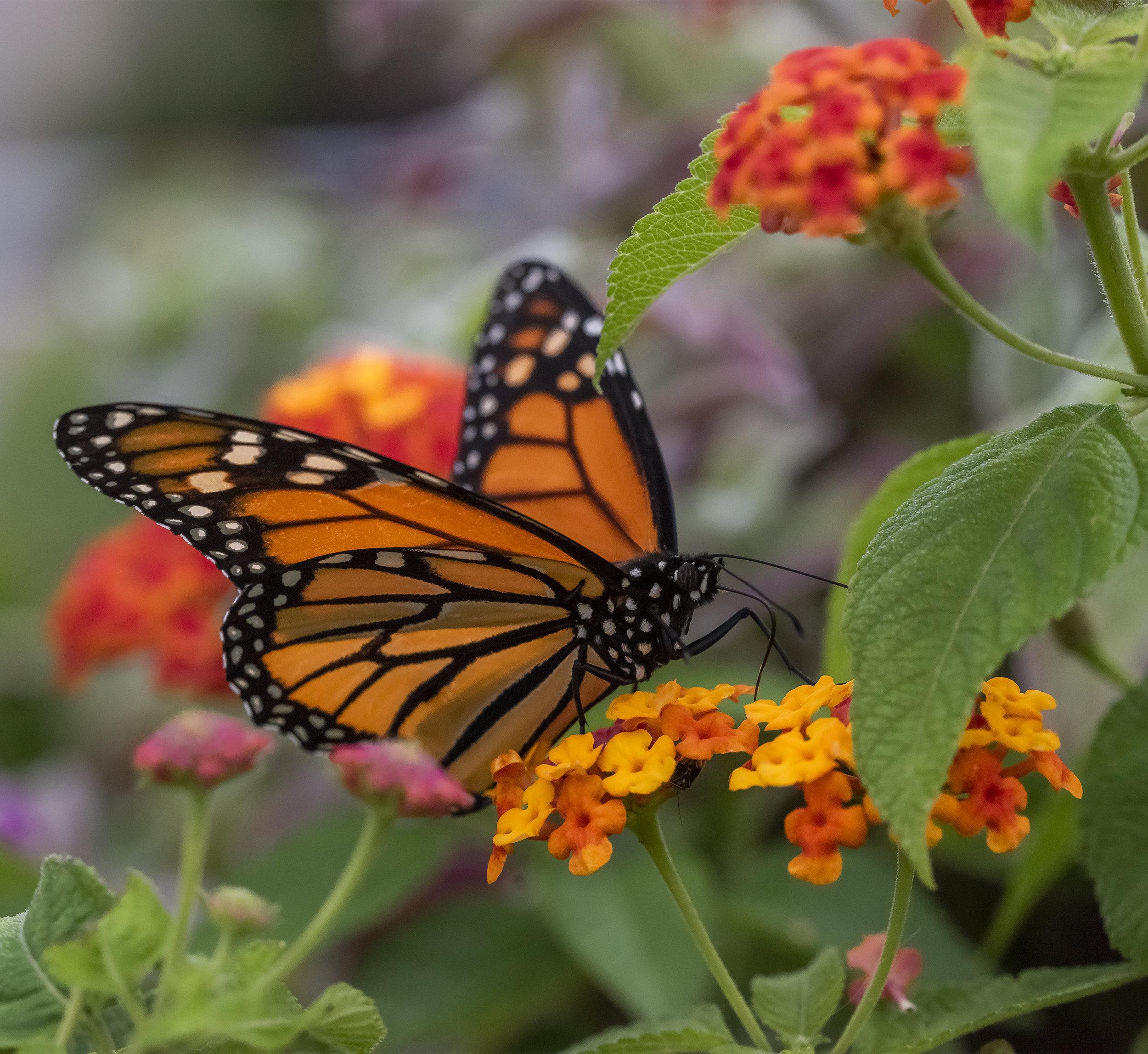 Butterfly in U. S. Botanical Garden, Washington, D. C.