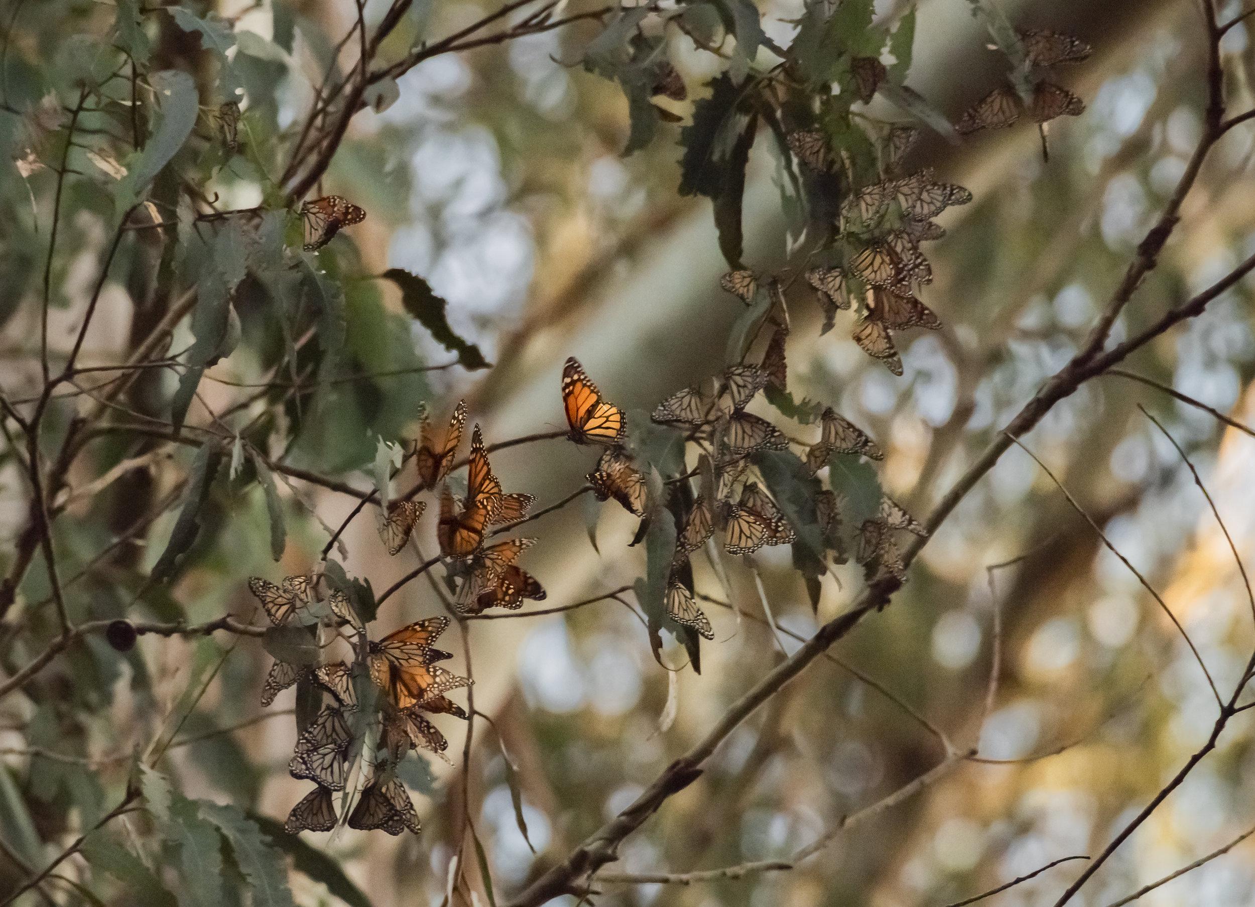 Migrating Monarch Butterflies, Santa Cruz, California