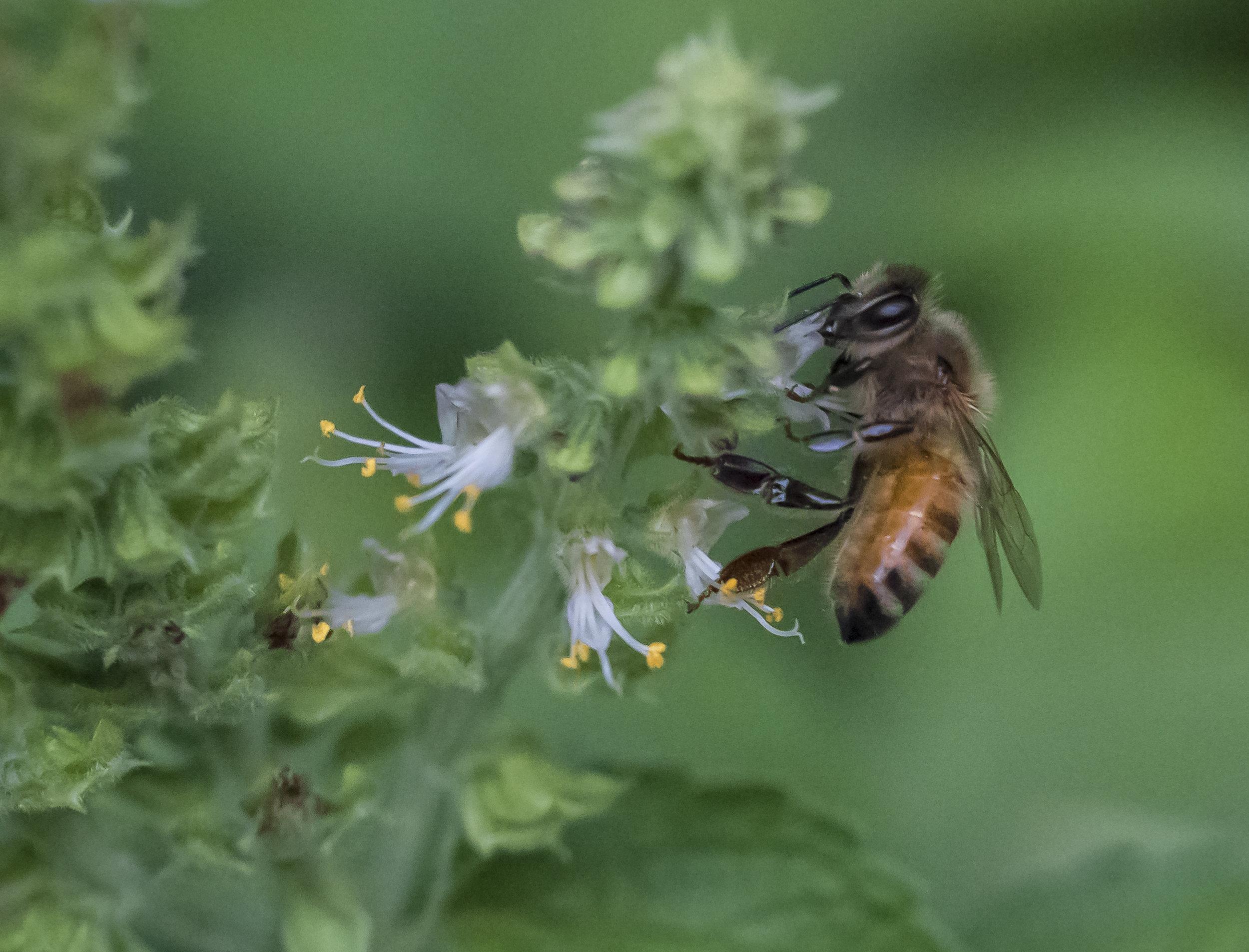 Bee in Holy Basil, San Jose, California