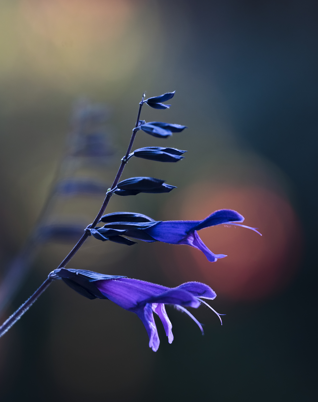 Salvia Amistad