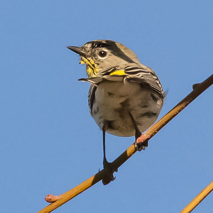 Yellow-rumped Warbler in San Jose, California