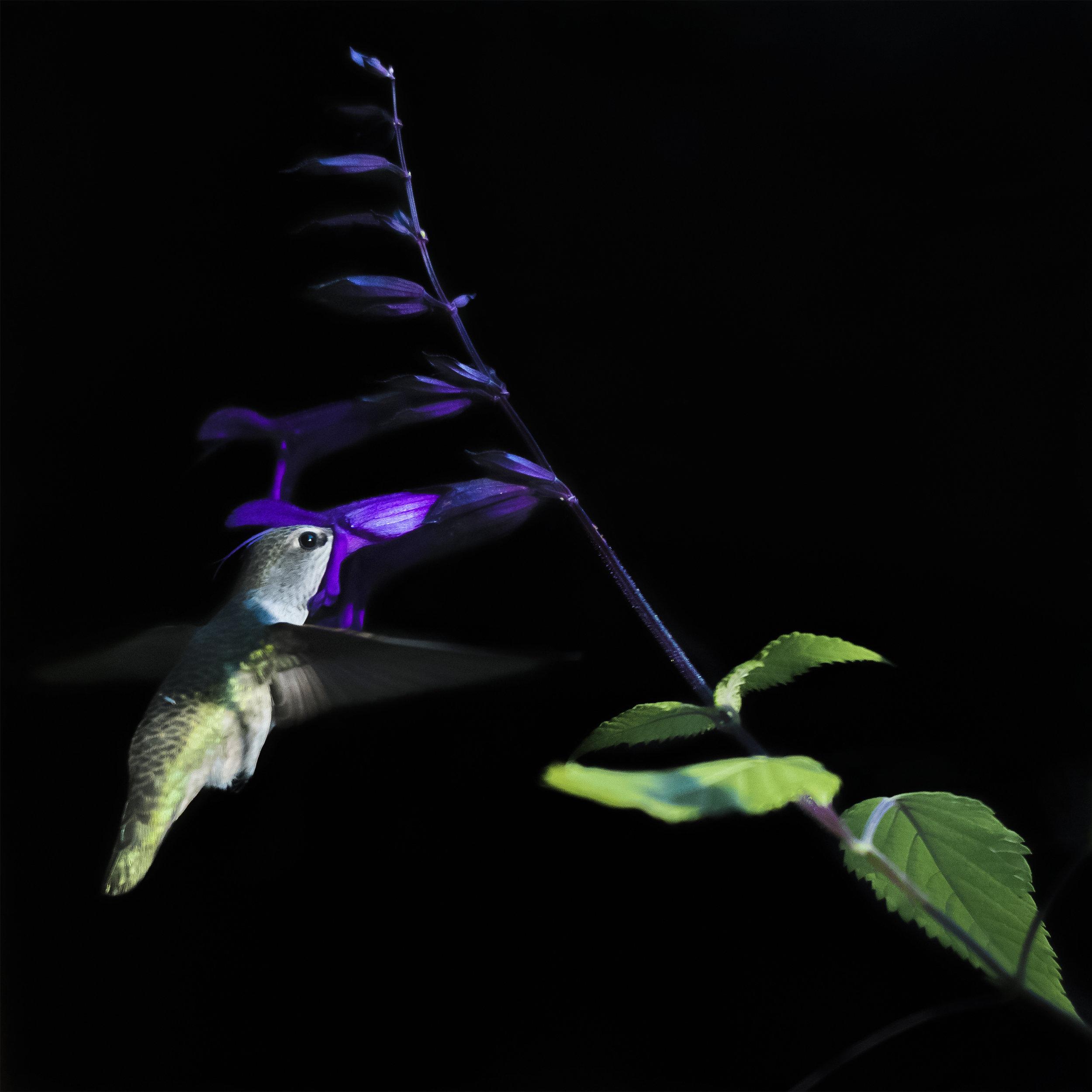 Hummingbird33.1sq.jpg