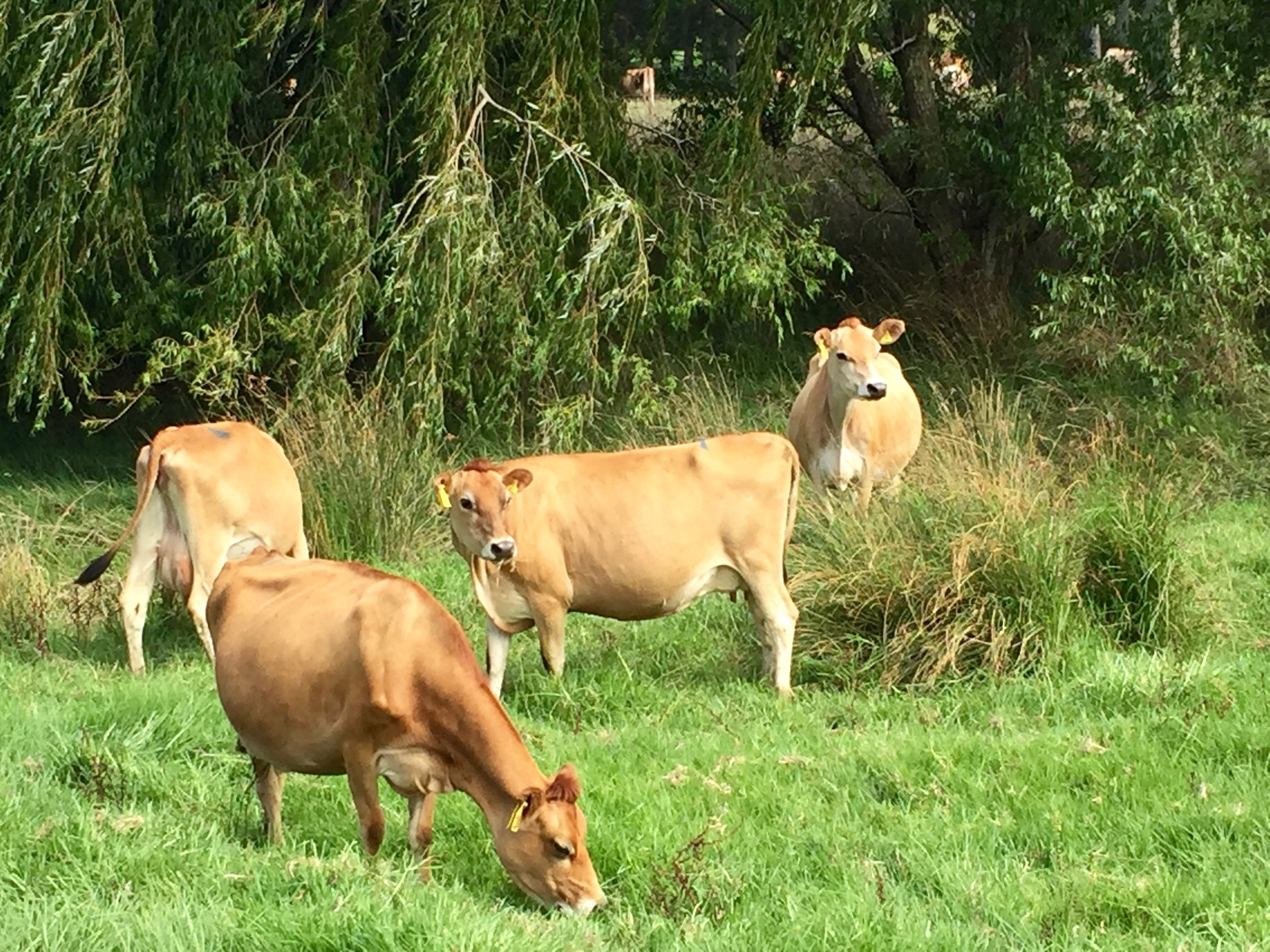 cows_eating.jpeg