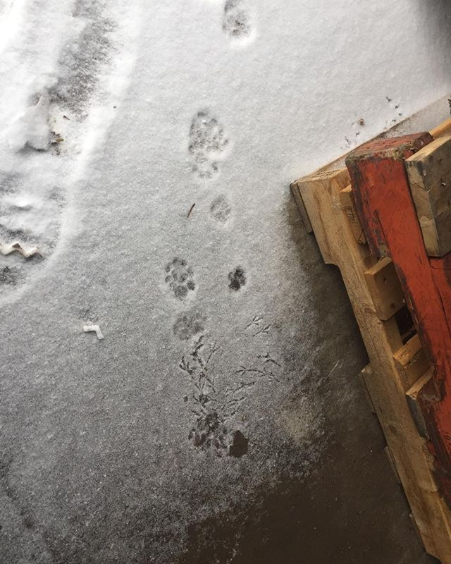 A story in the snow — sparrow prints, cat prints, and what looks like a bit of a scuffle?
