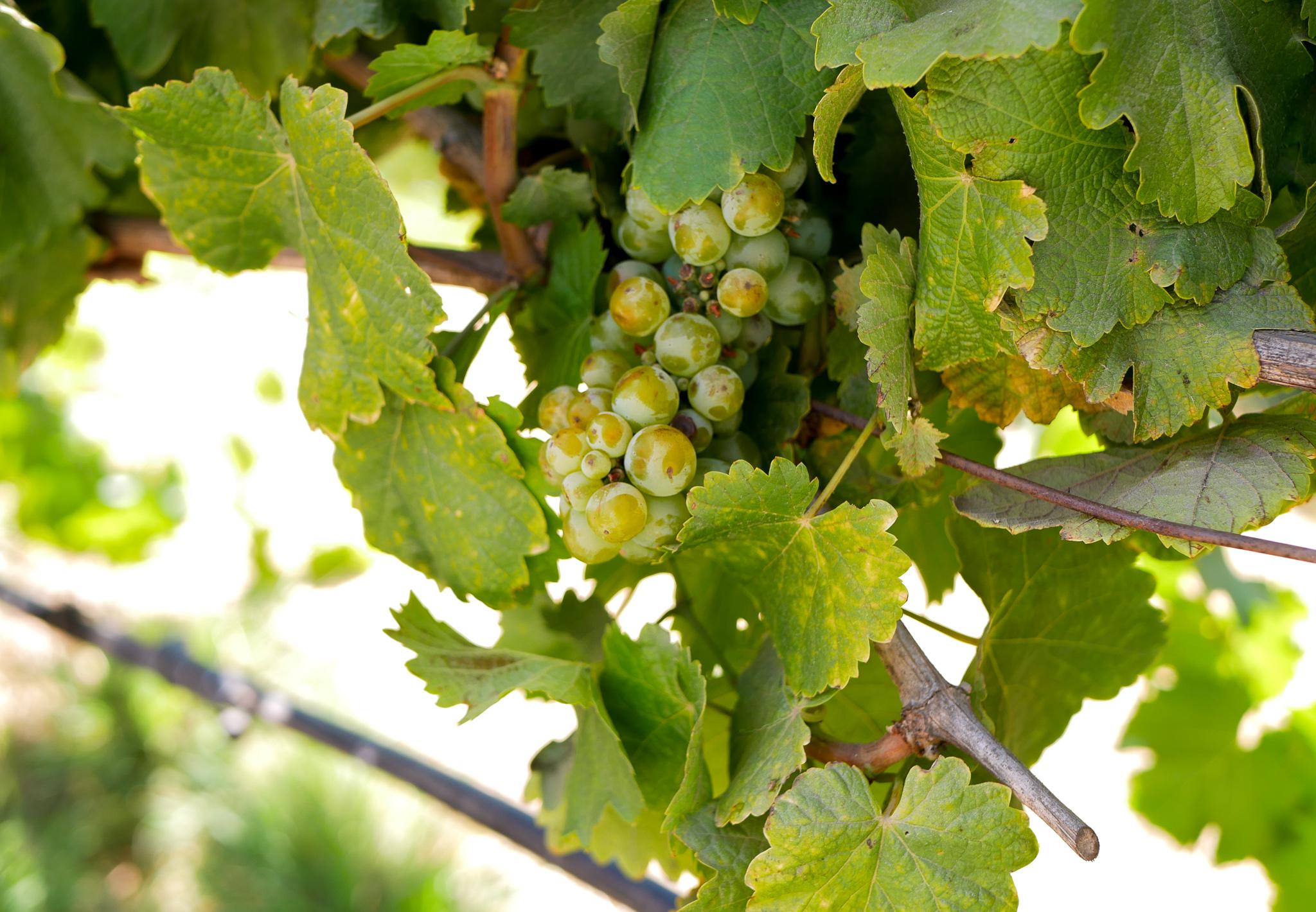 Vinrankor i Chile.