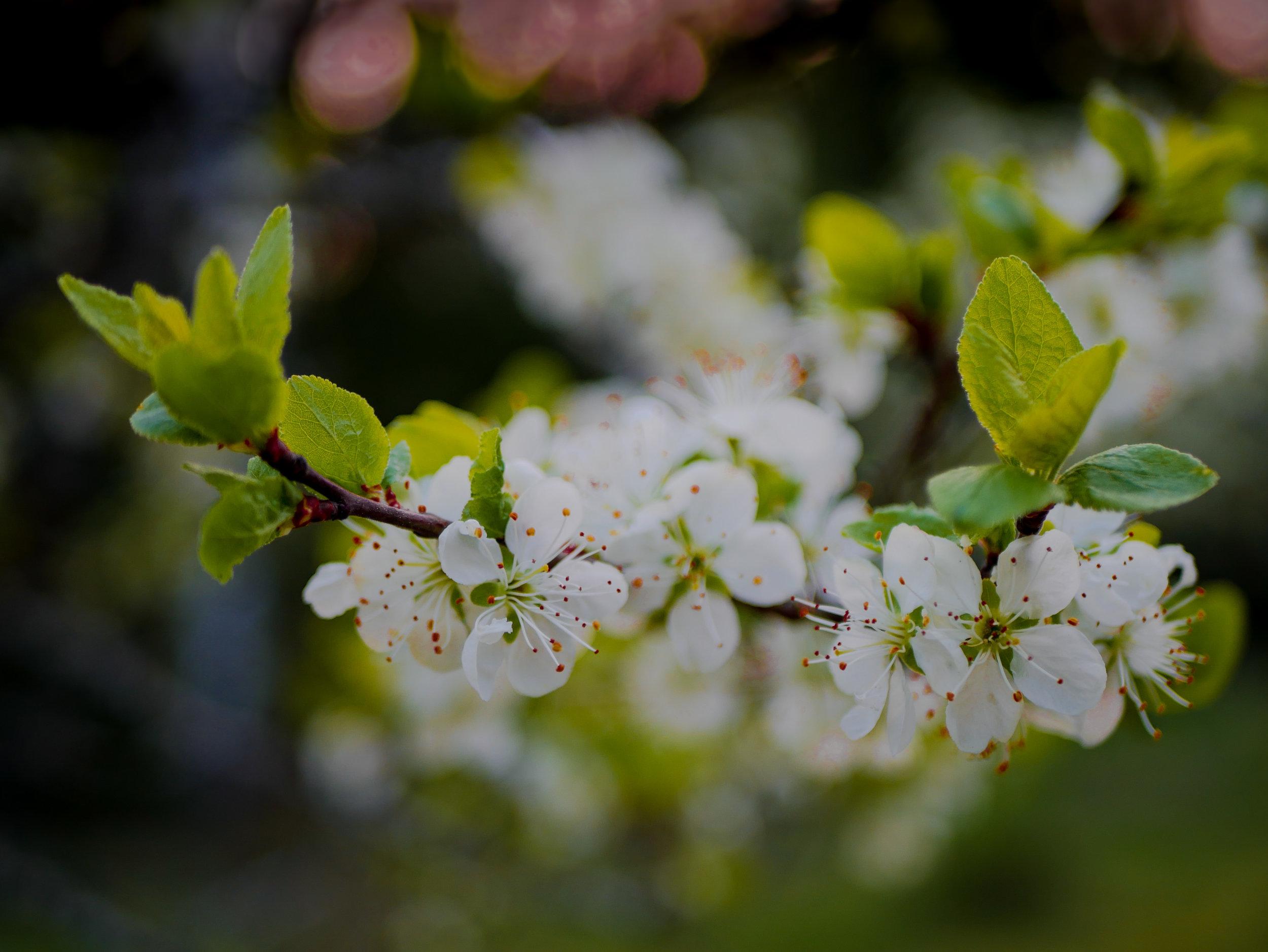 Plommonträd i blom har inget med inlägget att göra, men tycker det blev en så härlig bild. <3