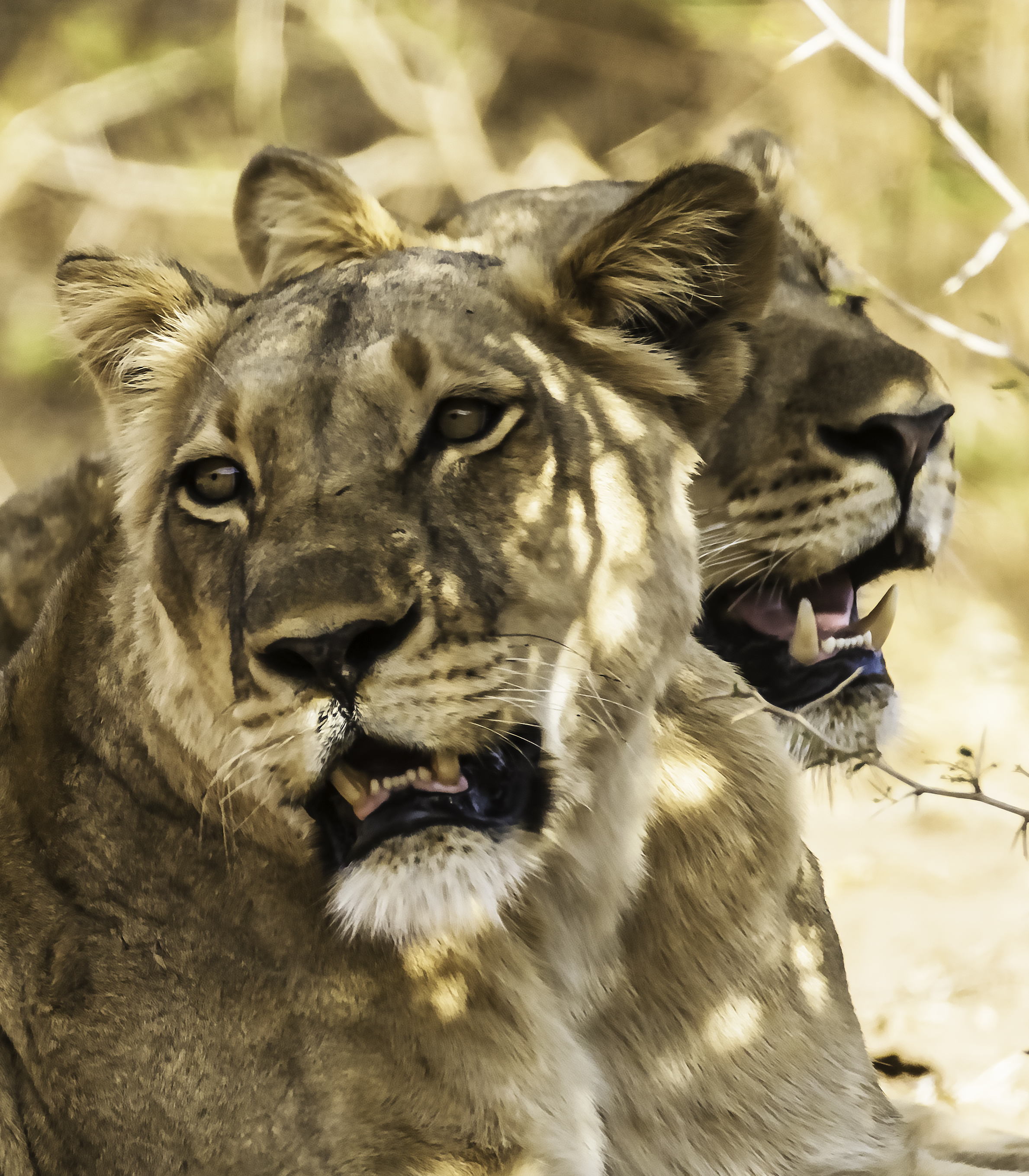 Portrait of Two Lions