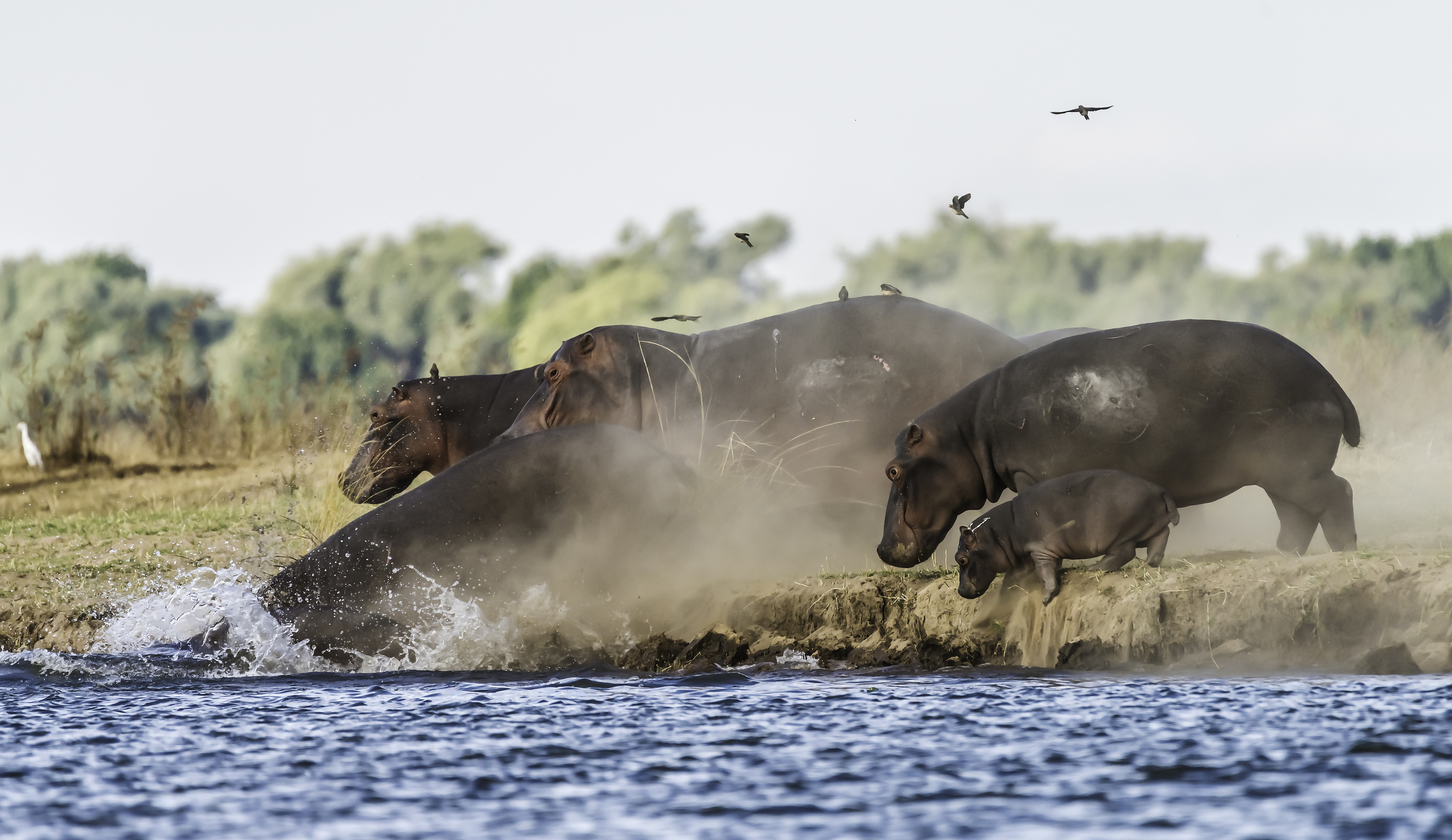 Hippos run into the Zambezi River as our boat approaches.