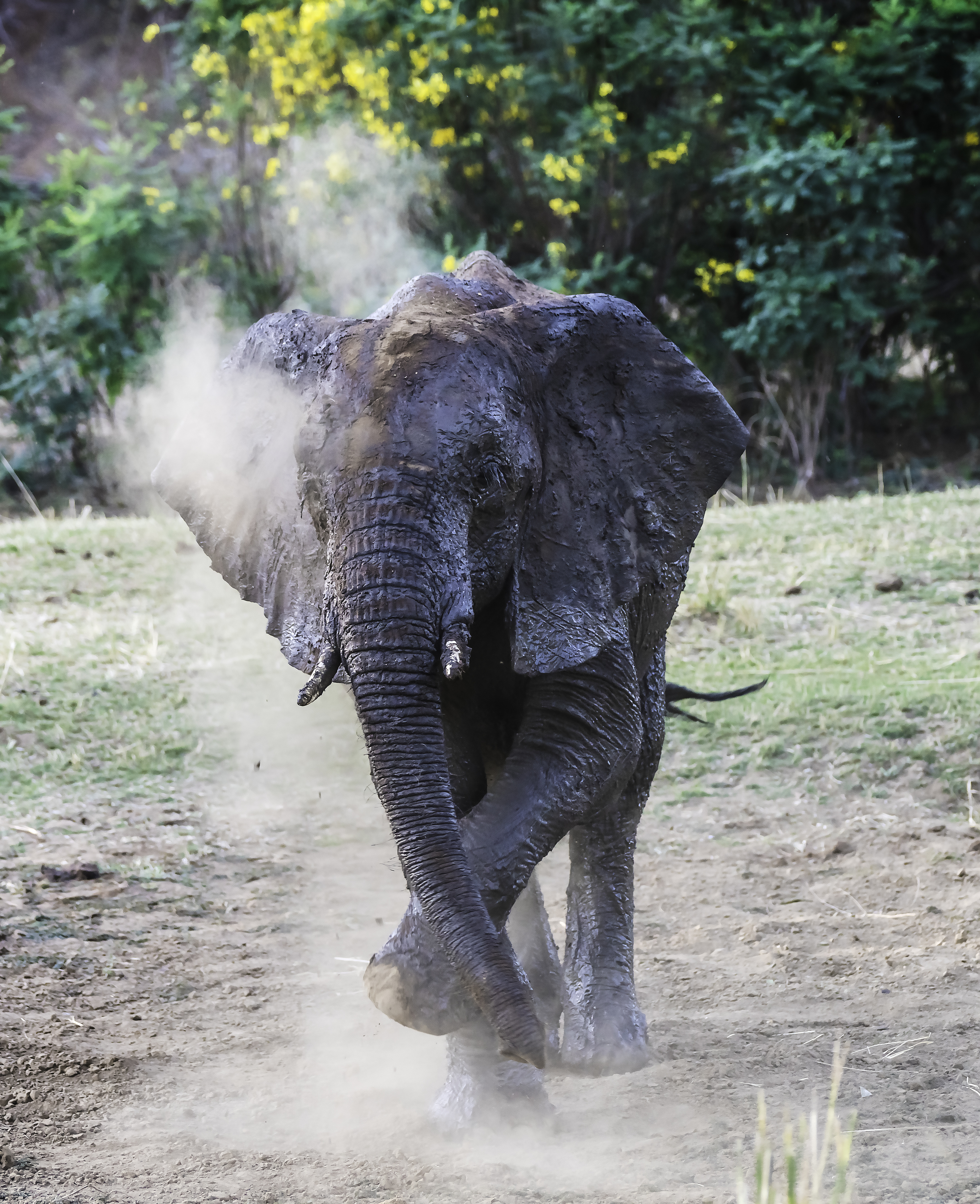 Elephant in Zambia, dusting itself off after a mud bath in the Zambezi river