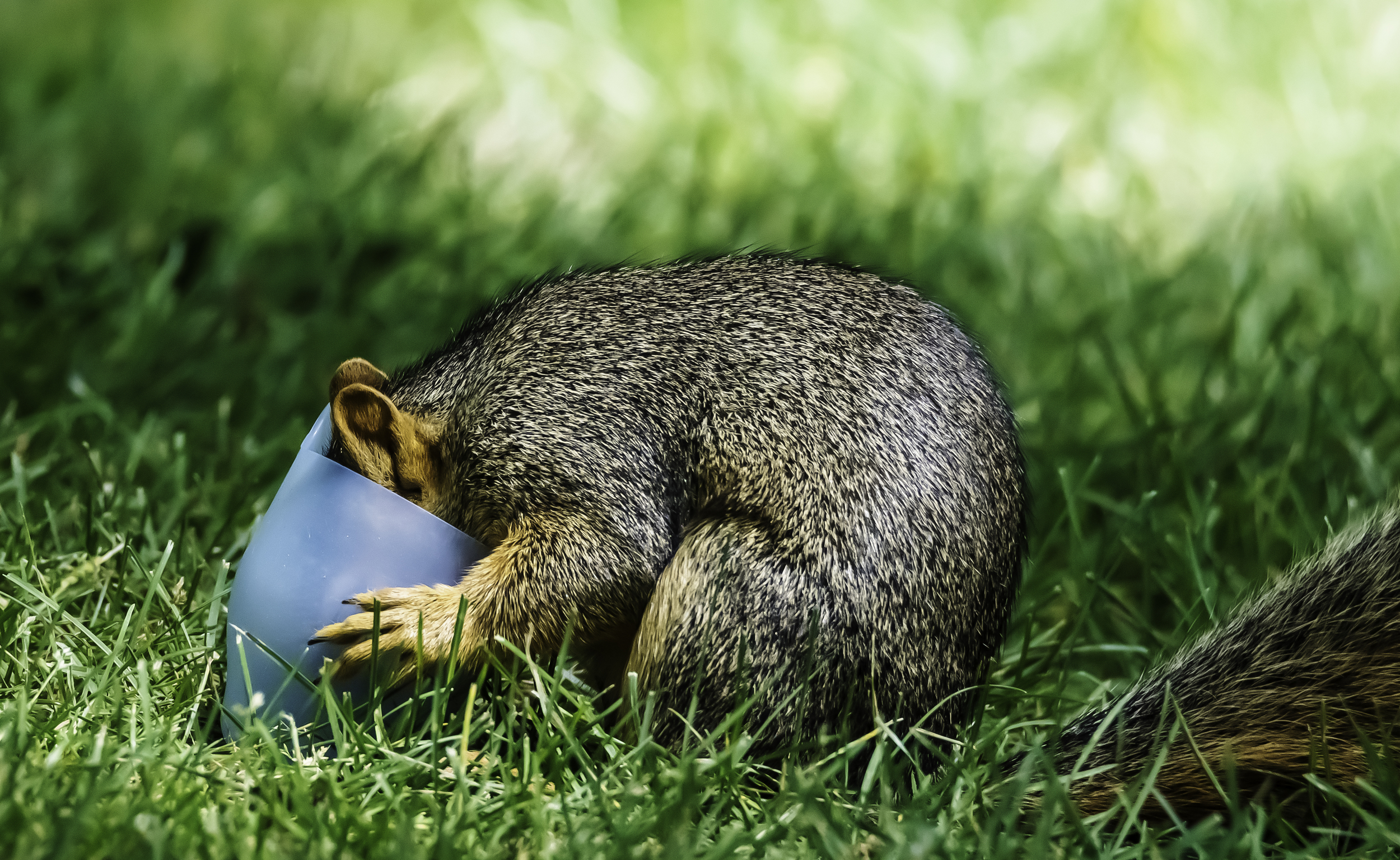 Squirrel finds plastic cup, bites it and then buries its head in it.
