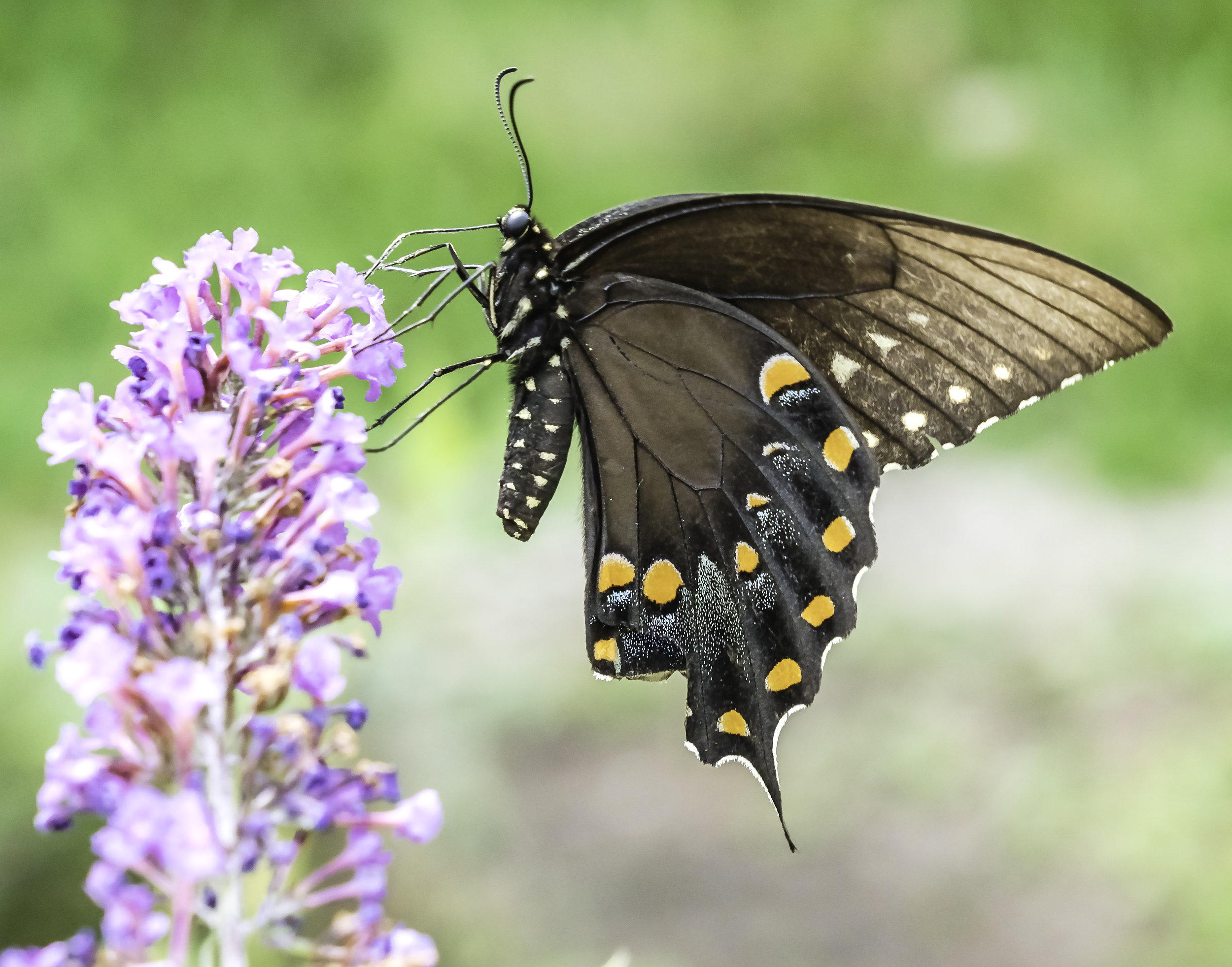 Black Swallowtail on a Butterfly flower