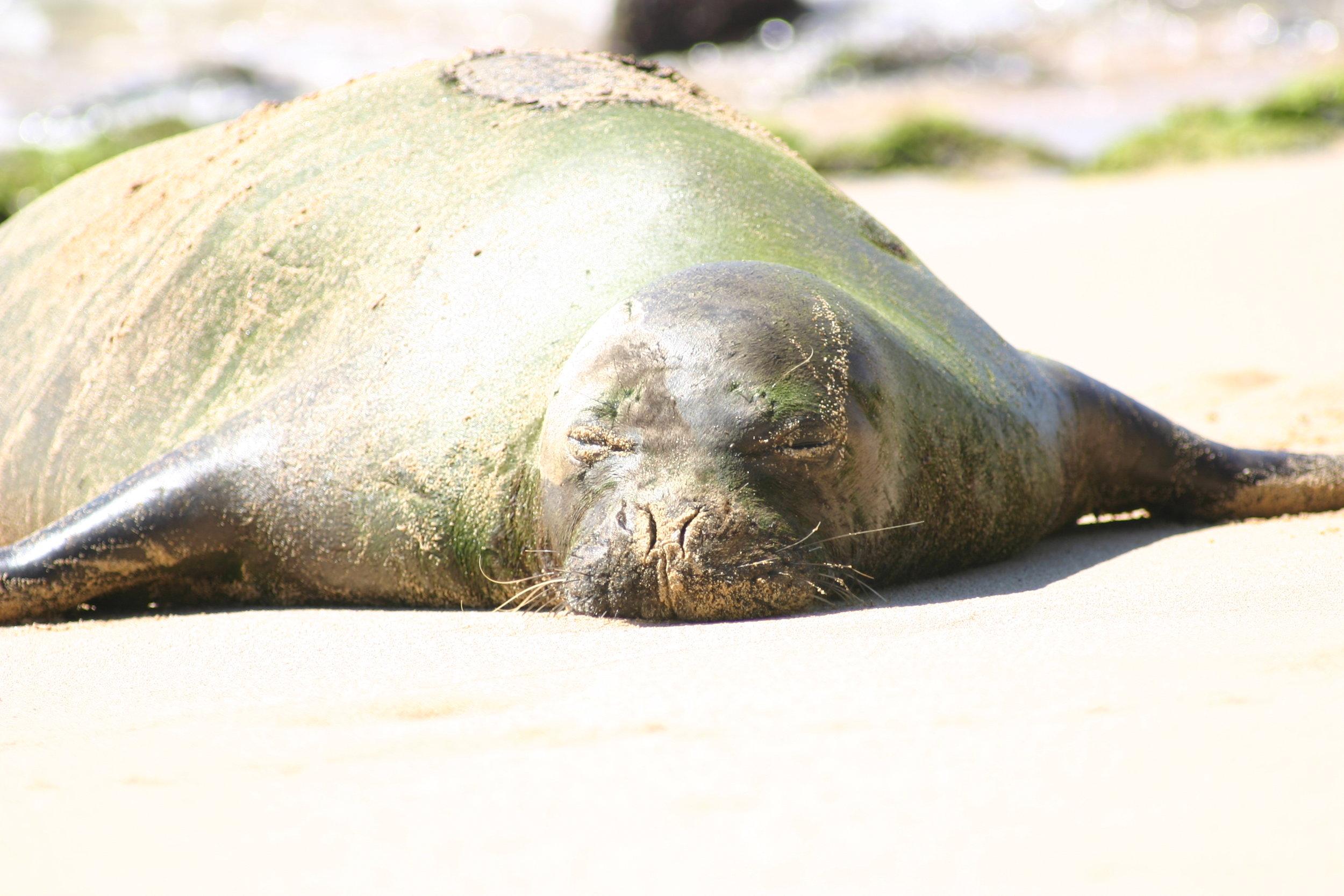 Resting Monk Seal, Kauai