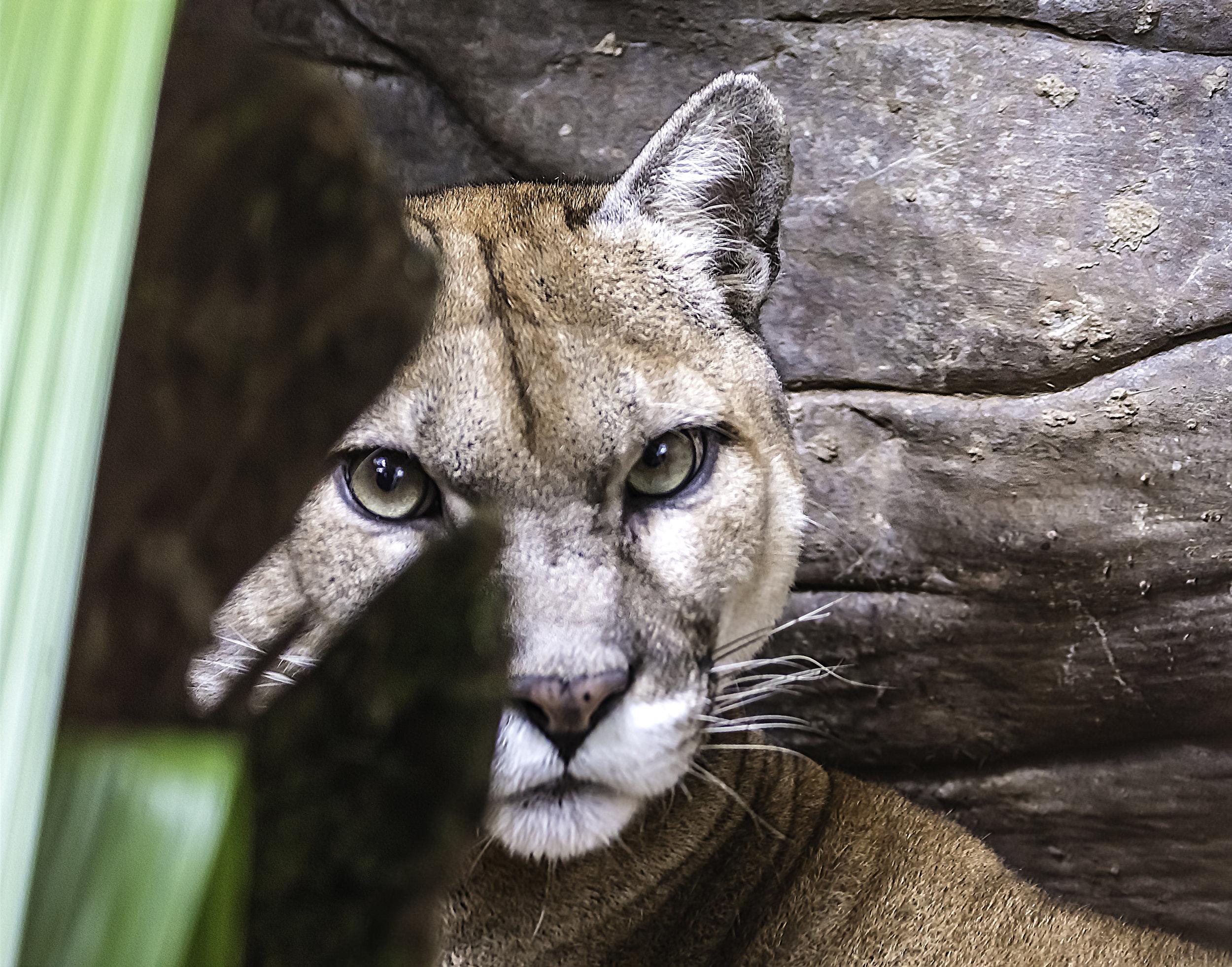 Shy Puma
