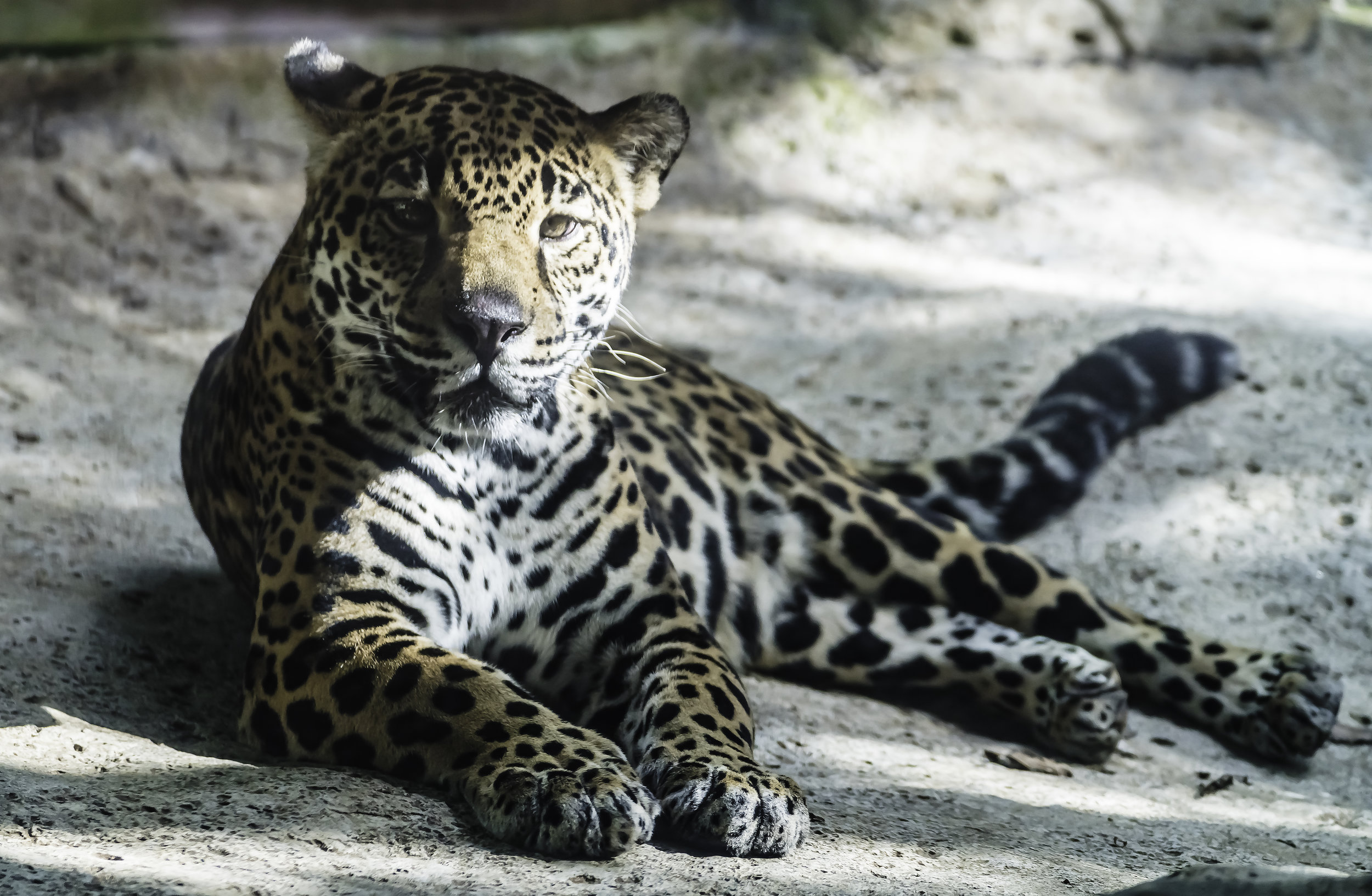 Regal Jaguar