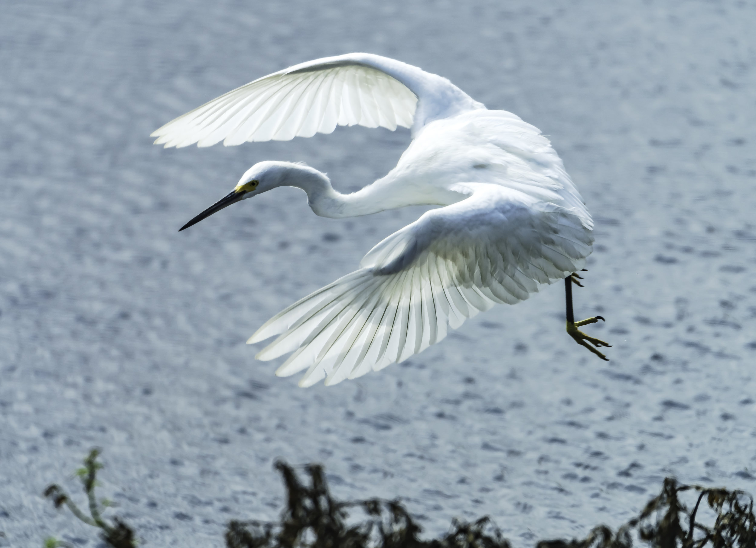 Flying Great Egret, Costa Rica