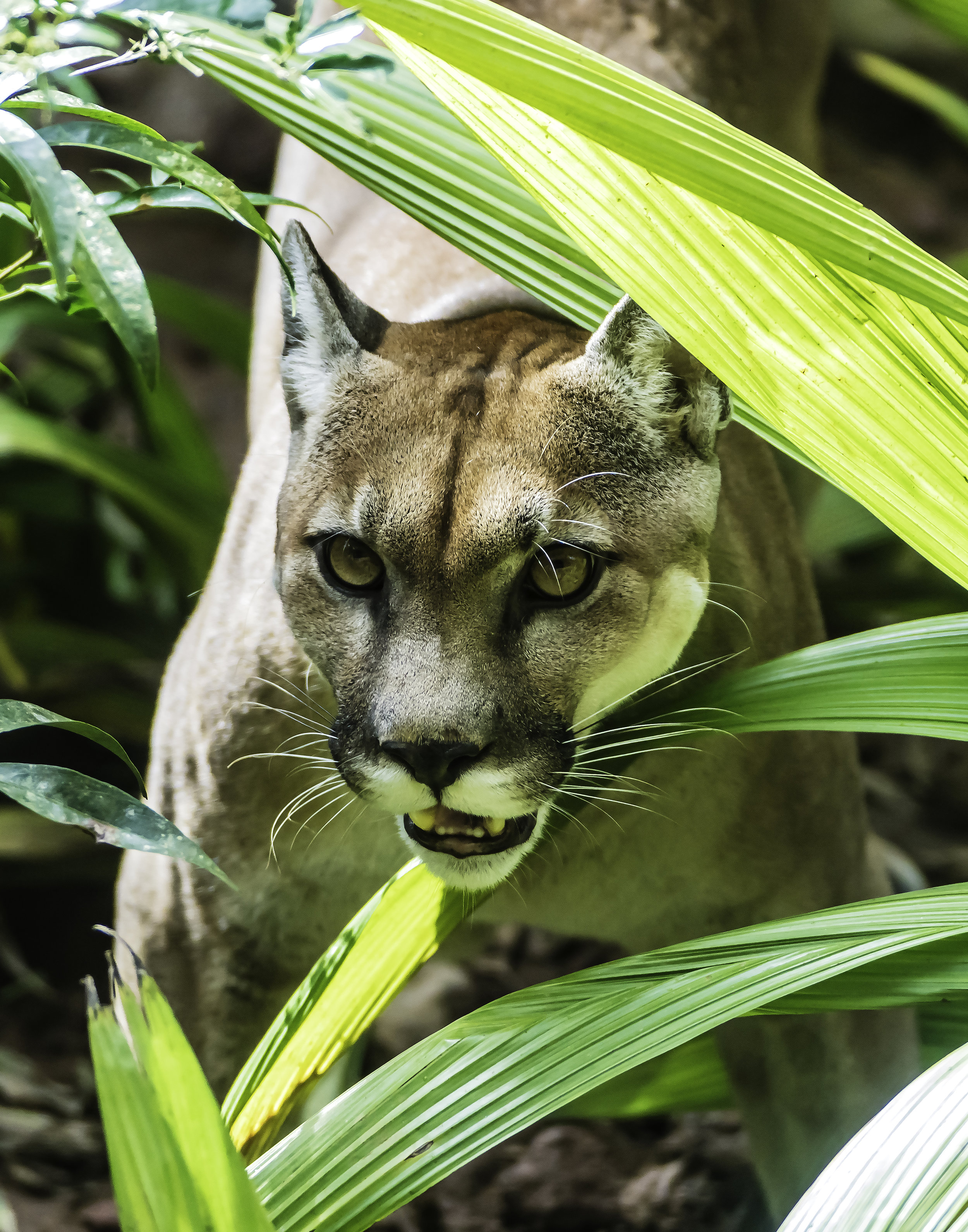 Puma in Foliage