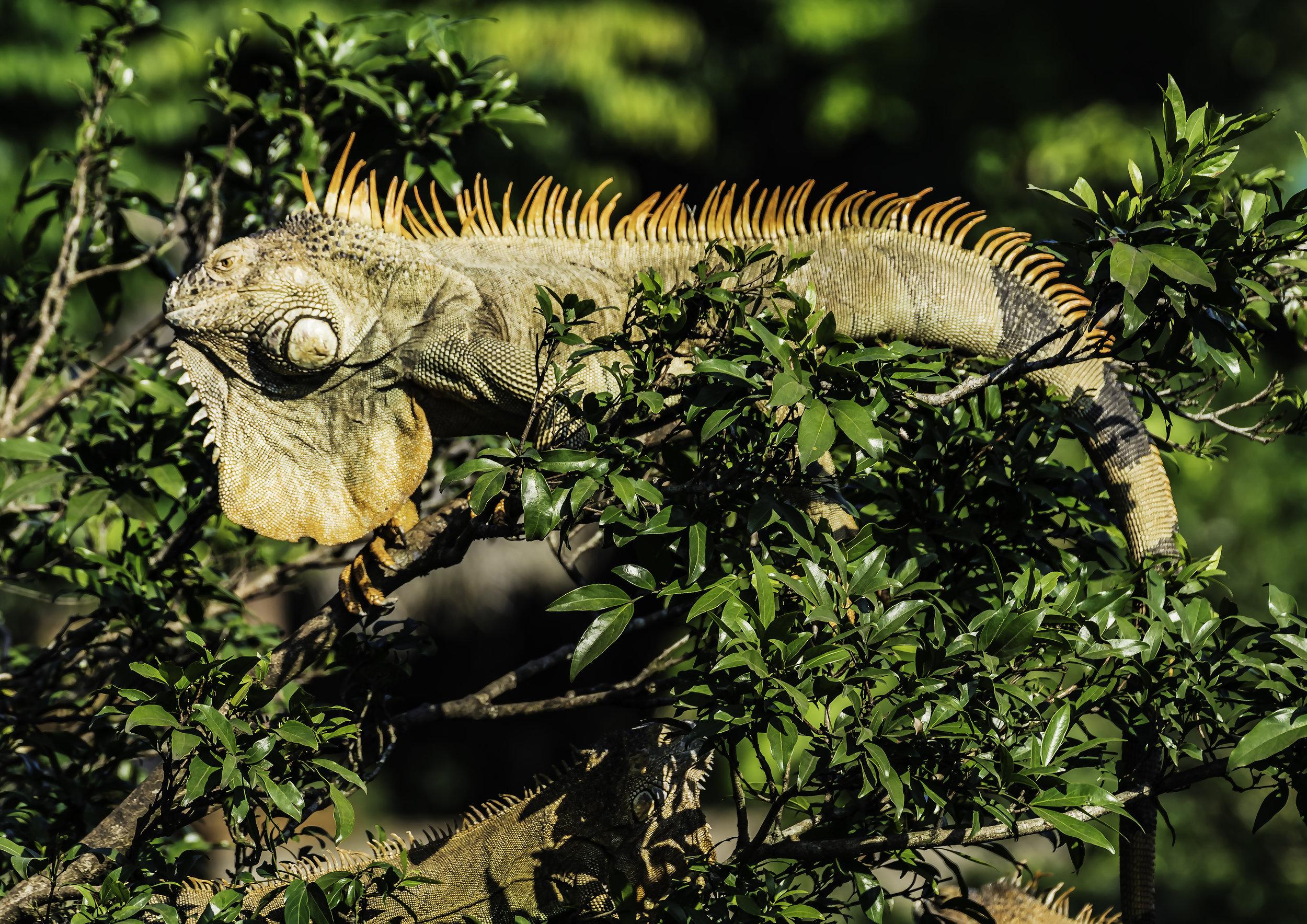 Costa Rican Iguana (4 feet+)