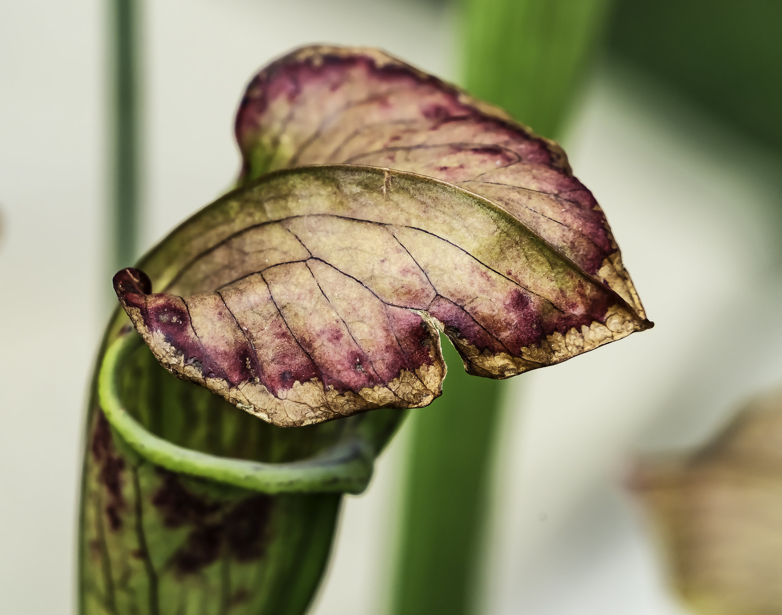 Aged Pitcher Plant