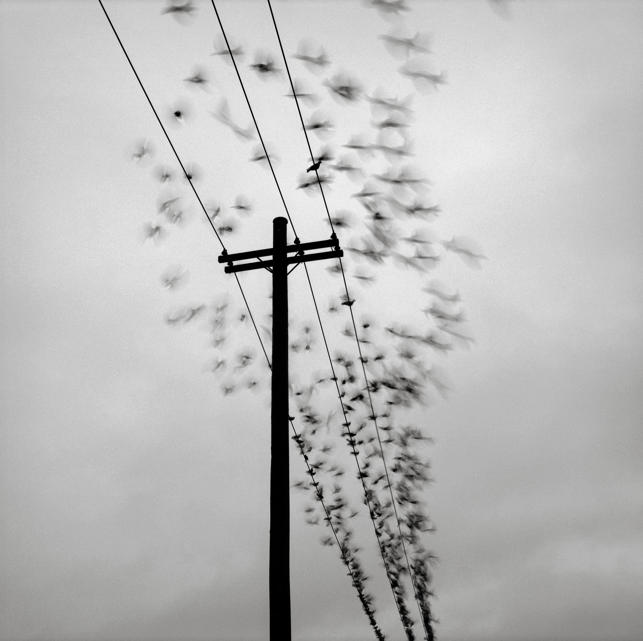 Telephone Pole with Birds, Portland
