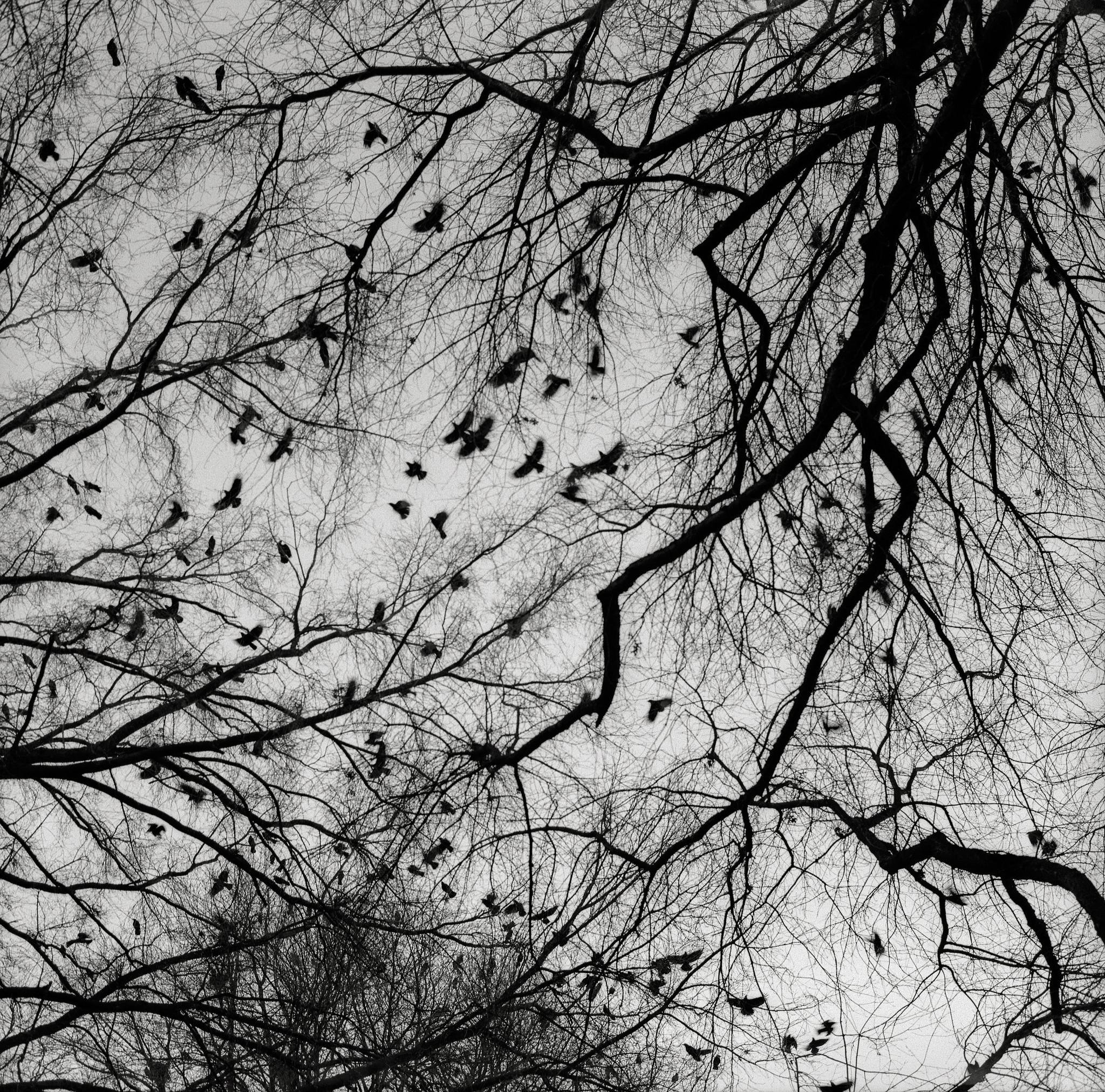 Crows, Portland