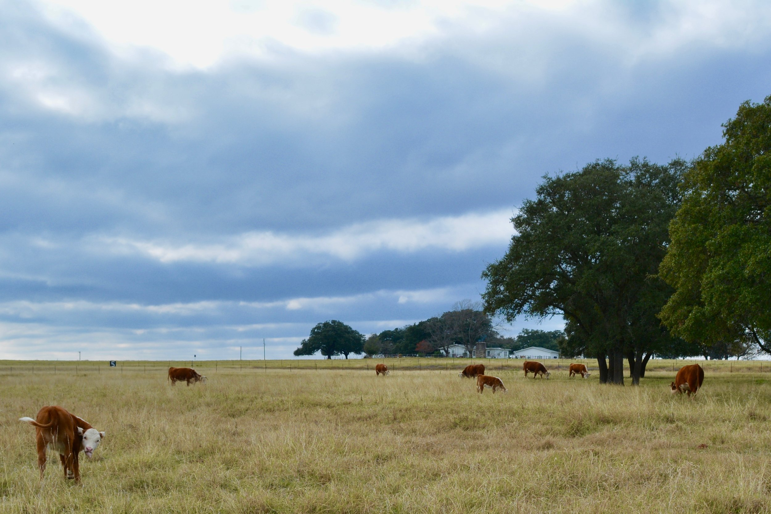 Cattle at LBJ Ranch