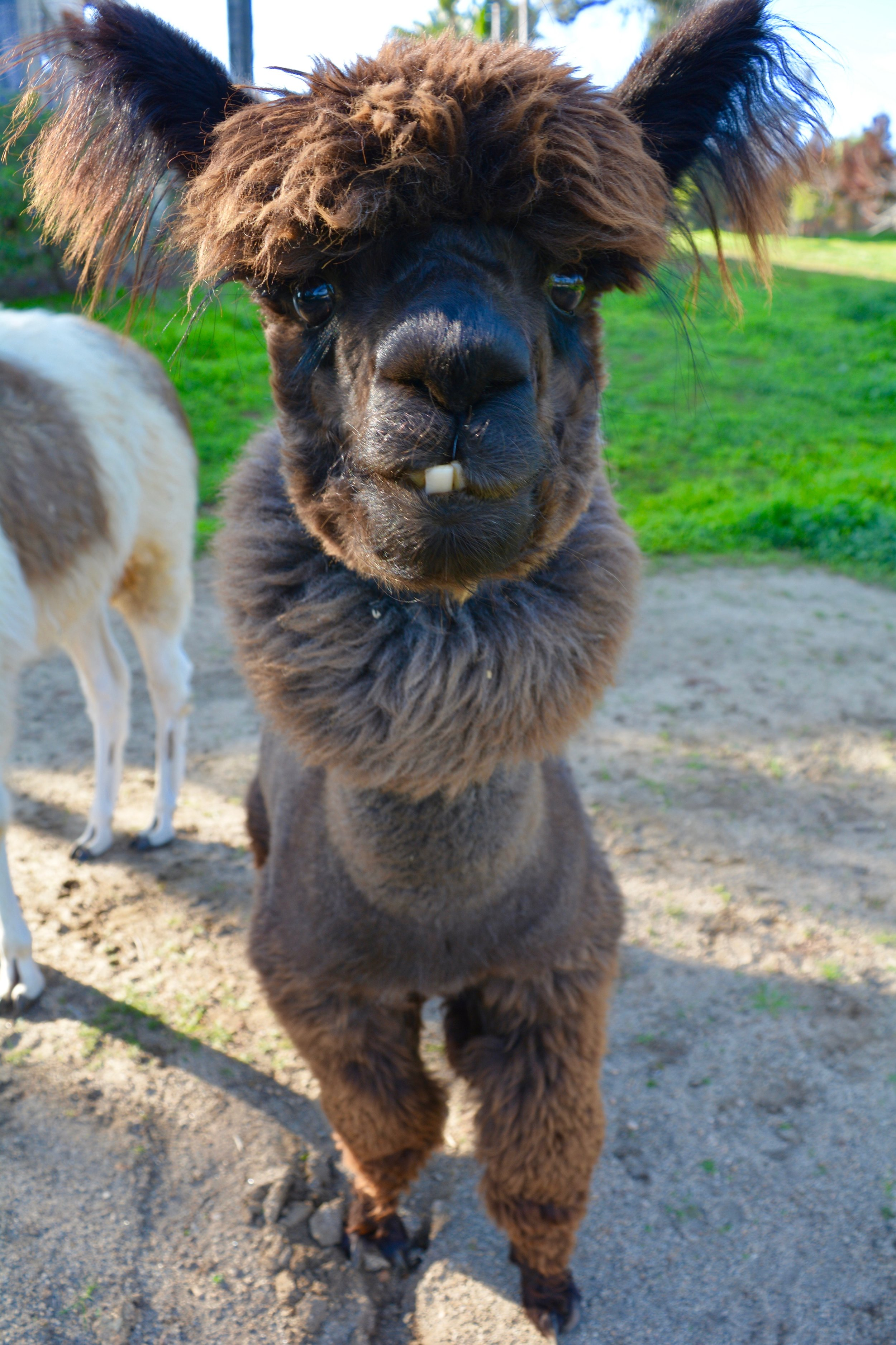 Roosevelt the alpaca gives me the stare-down