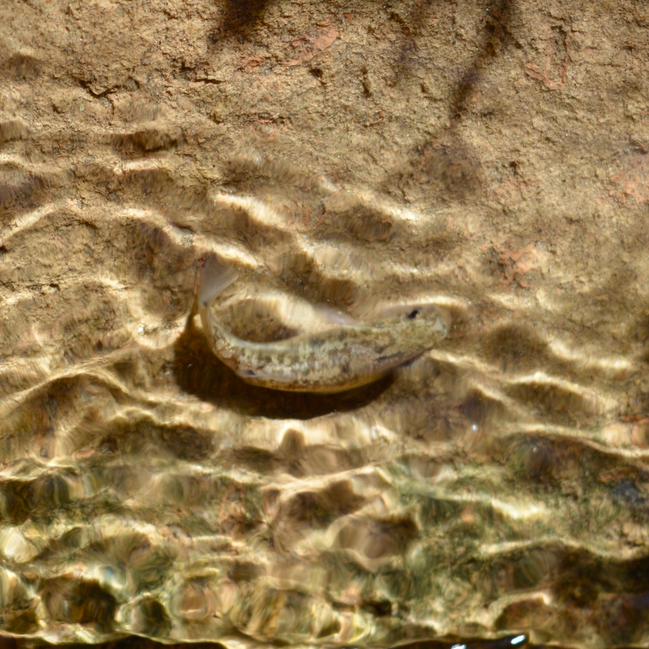 Desert Pupfish in Salt Creek