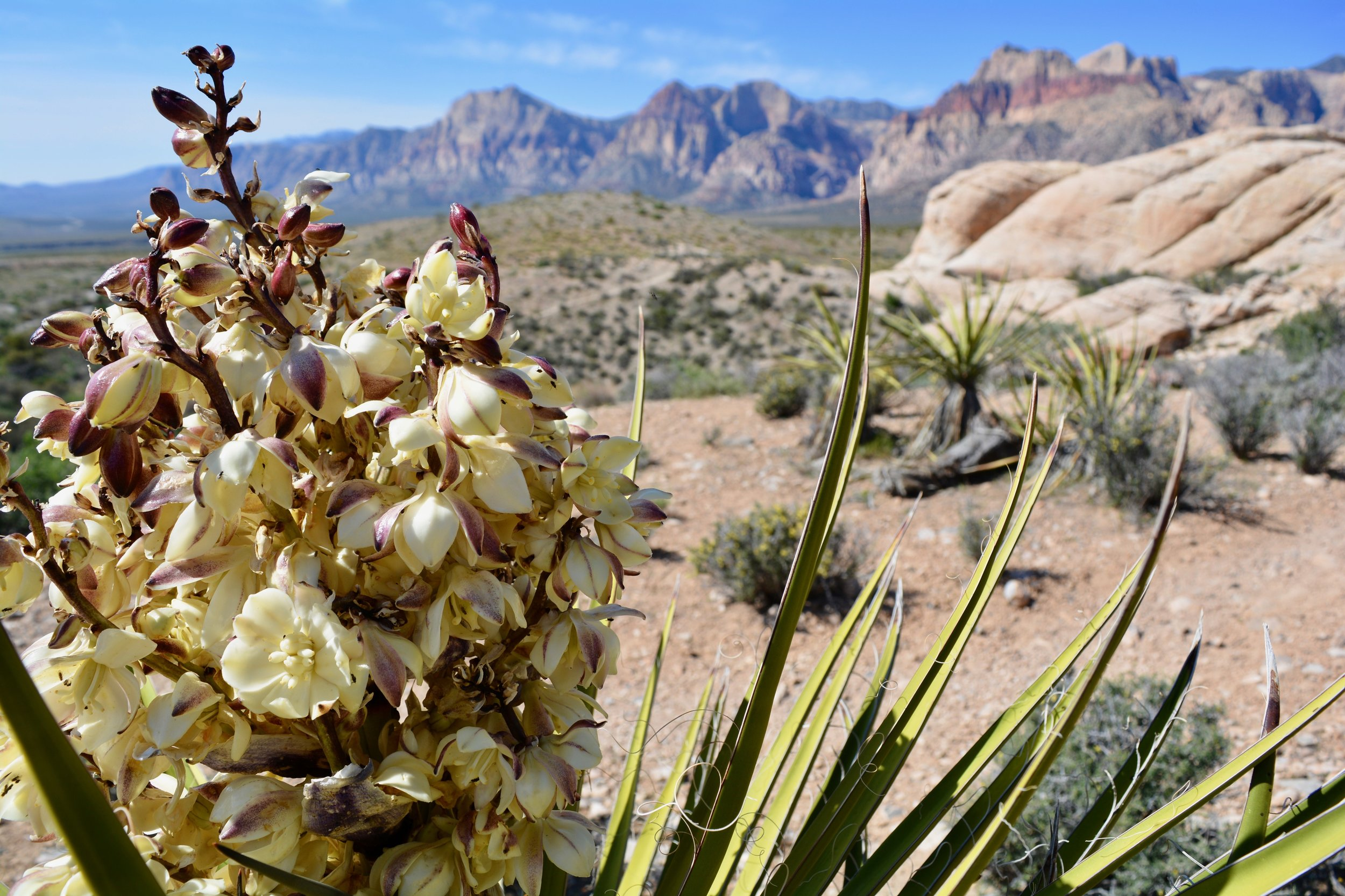 Blooming yucca at Red Rock Canyon