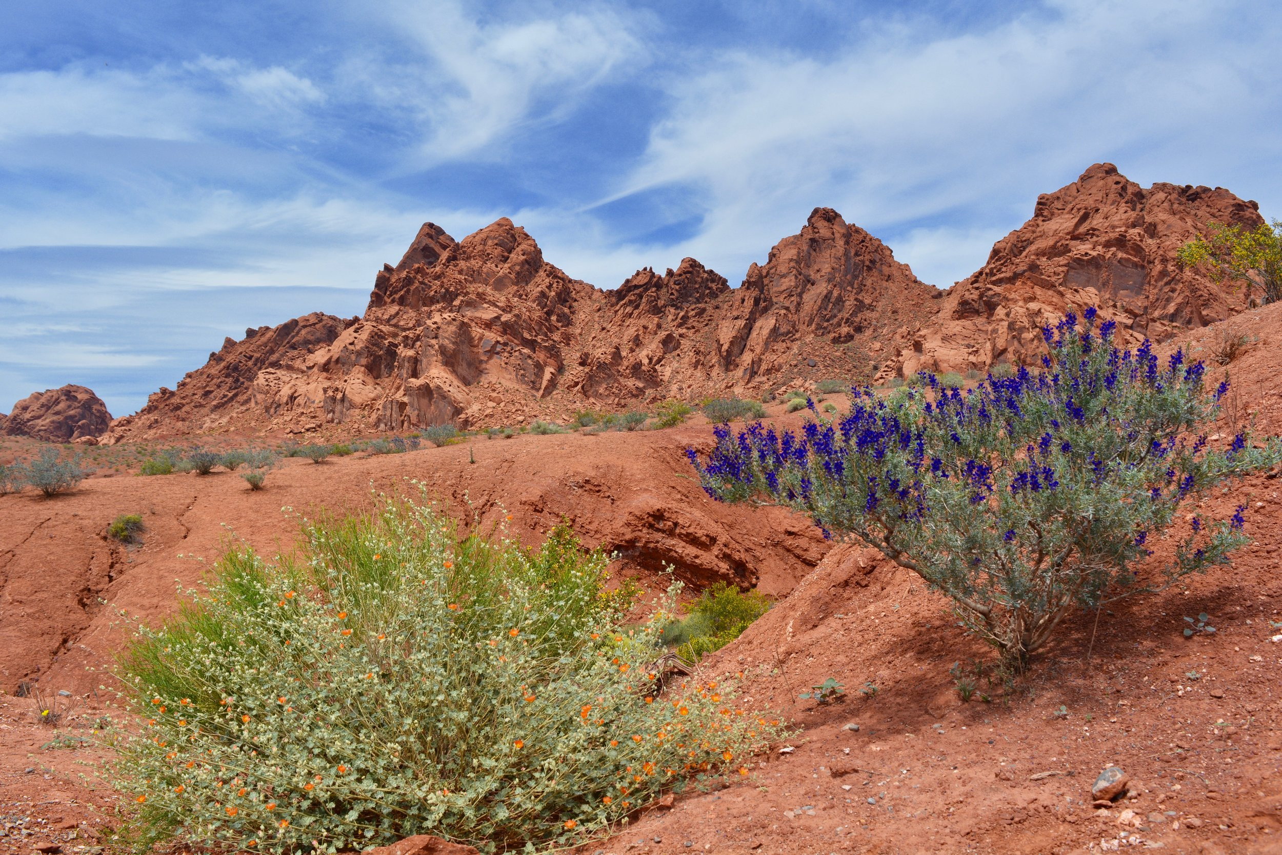 Desert globemallow and indigo bush blooming at Valley of Fire State Park
